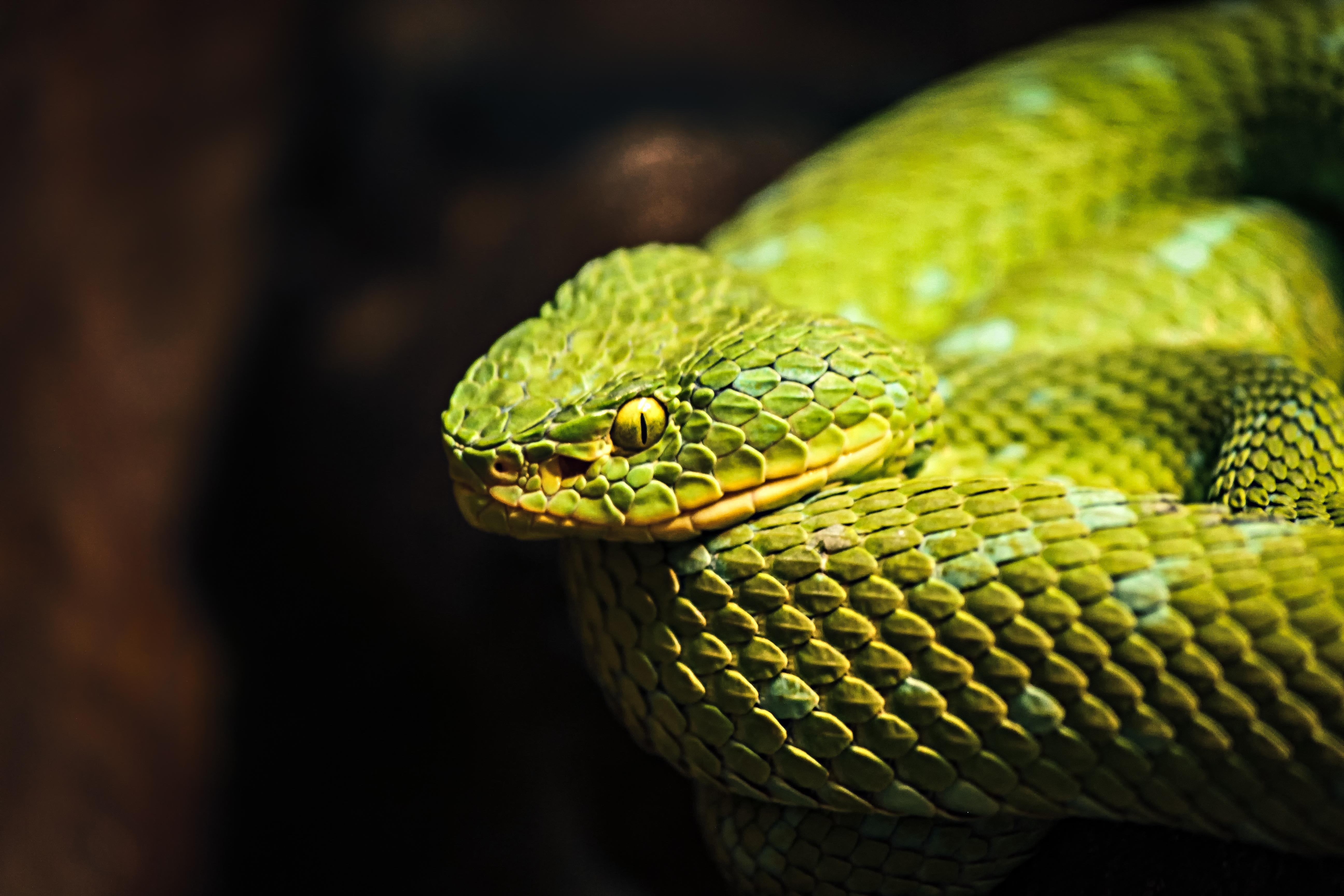 Wallpaper Eyes Snake Yellow Wildlife Zoo Venom
