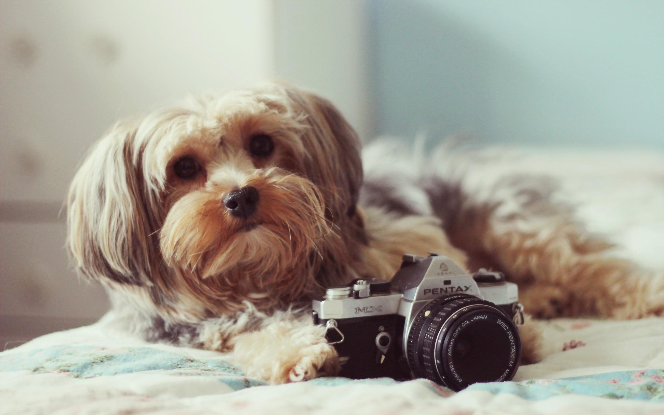 Wallpaper Face Bed Camera Lie Shih Tzu Puppy Fluffy