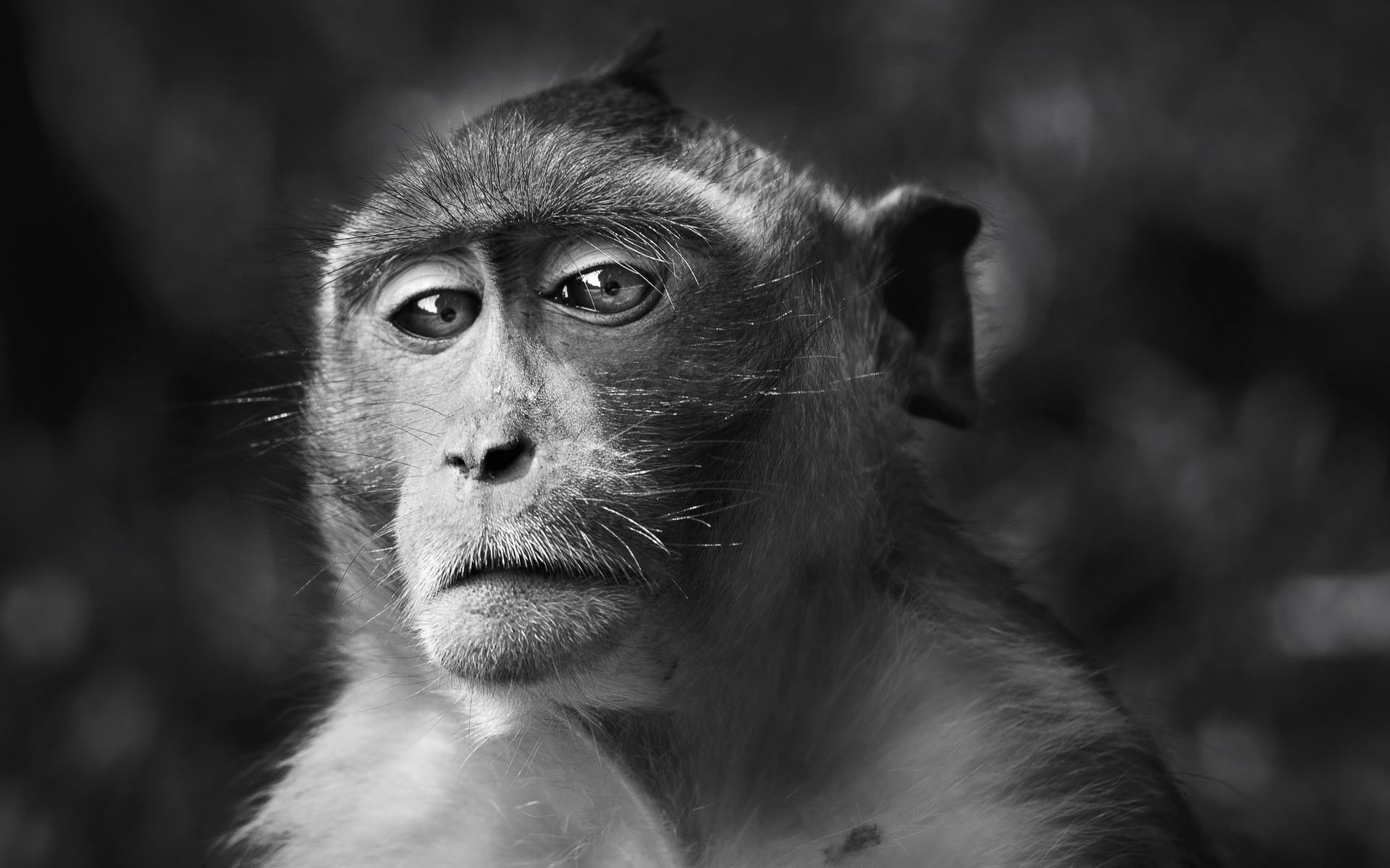 fond d 39 cran visage monochrome les yeux la photographie faune macaque mammif re noir et. Black Bedroom Furniture Sets. Home Design Ideas