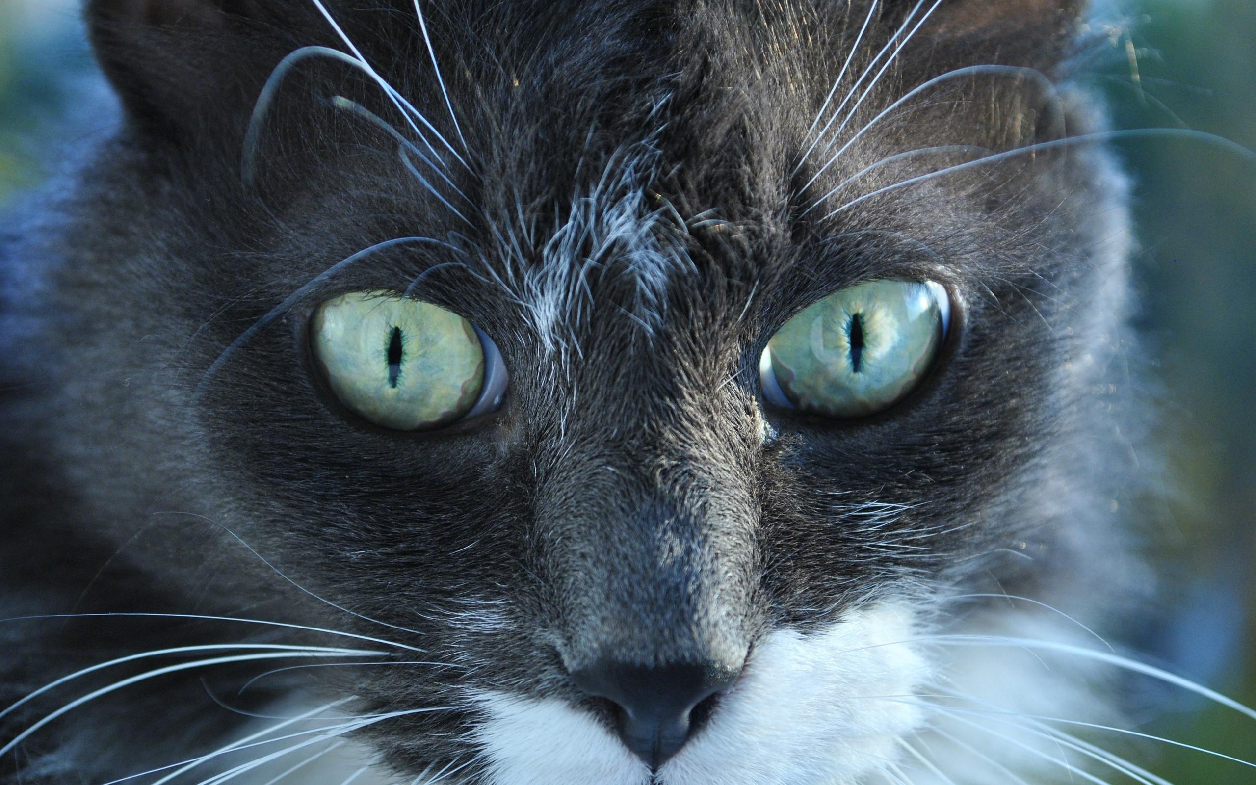Smuk sort katte