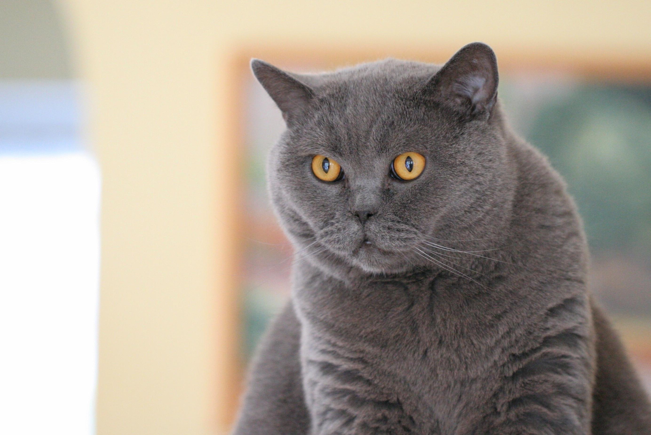 Brittiläinen (Kissa)