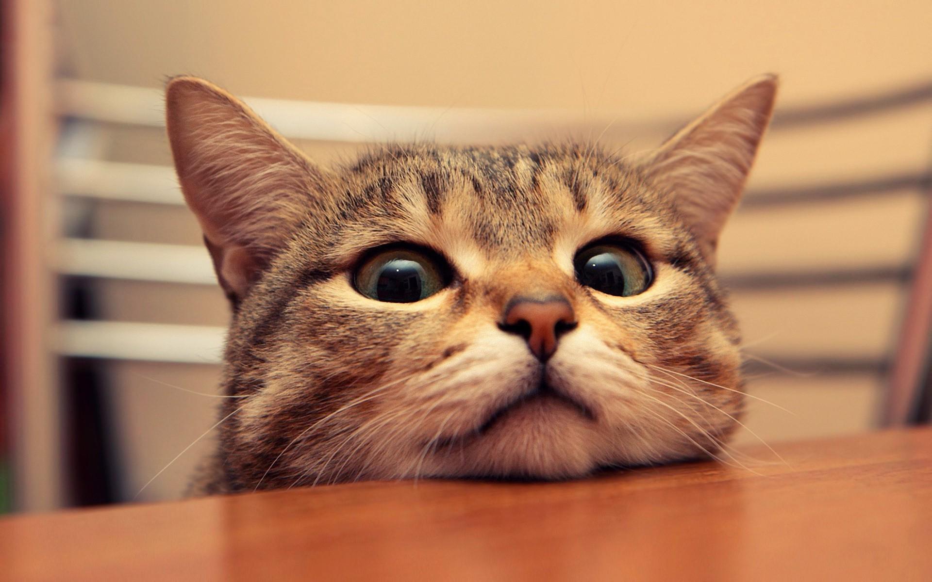 デスクトップ壁紙 面 ネコ ビューアを見て 表 椅子 鼻