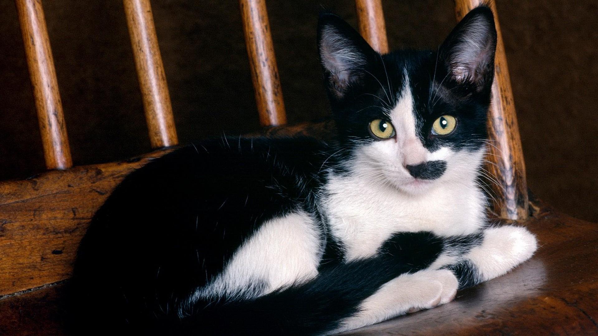 Черно белая кошка порода фото