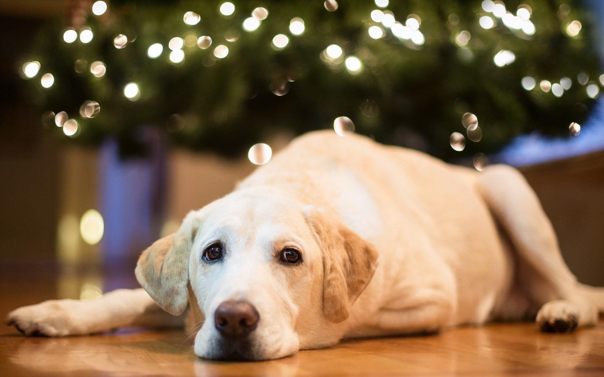 Wallpaper Face Lie Labrador Retriever Puppy Vertebrate Dog