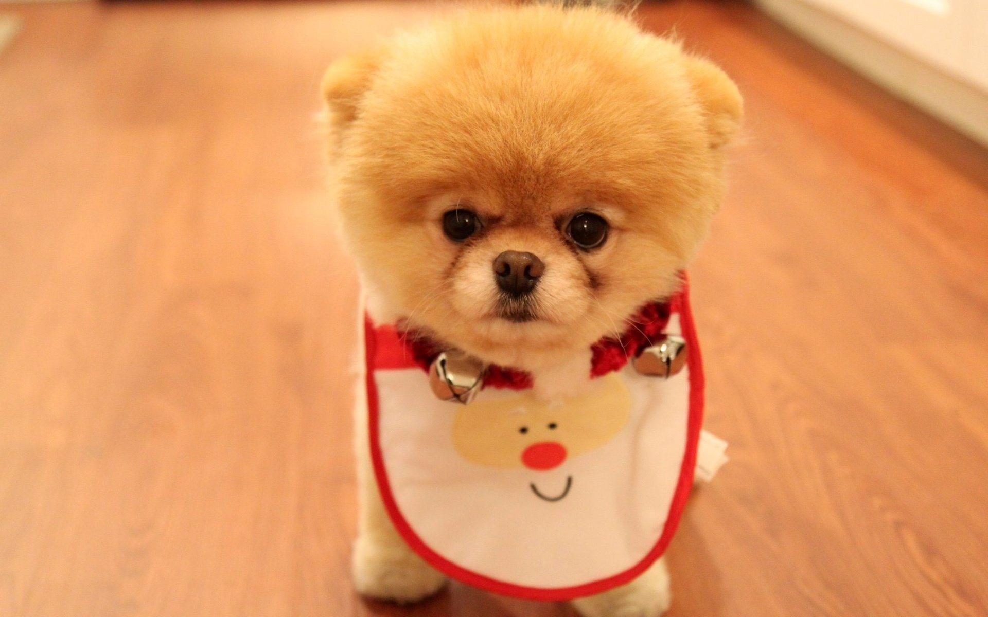 面 犬 ポメラニアン 可愛い 子犬 哺乳類 脊椎動物 哺乳類のような犬 犬の品種