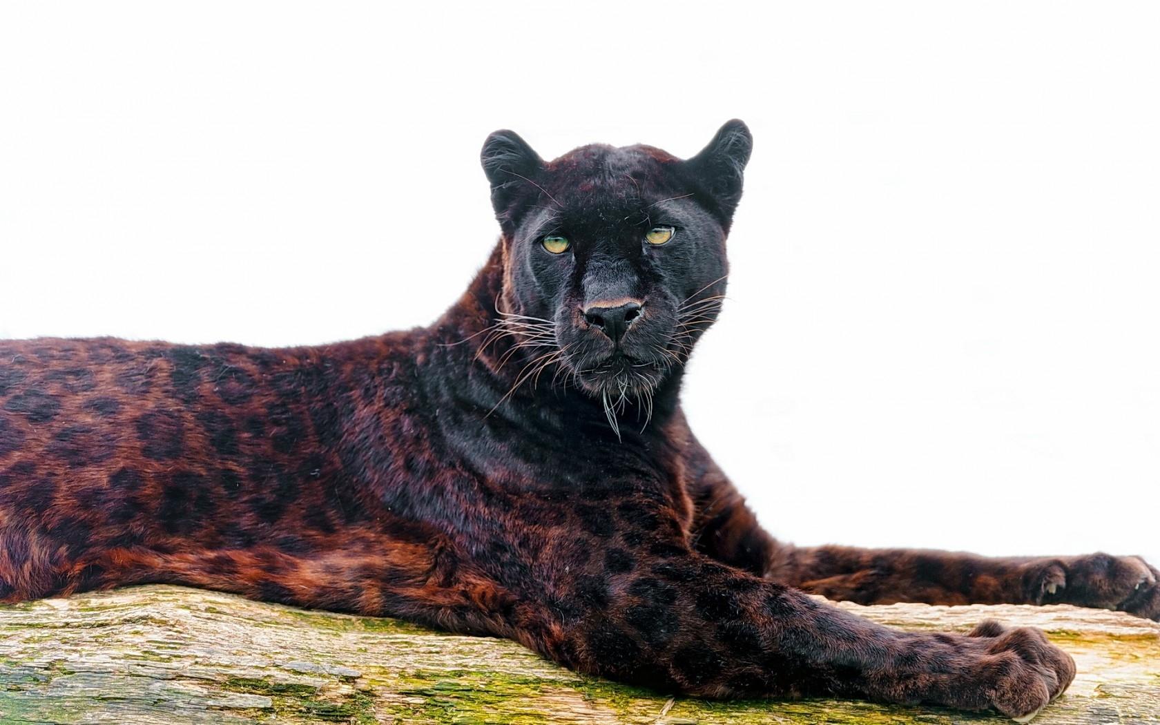 большинство картинки пантера гепард целенаправленно делают наколки