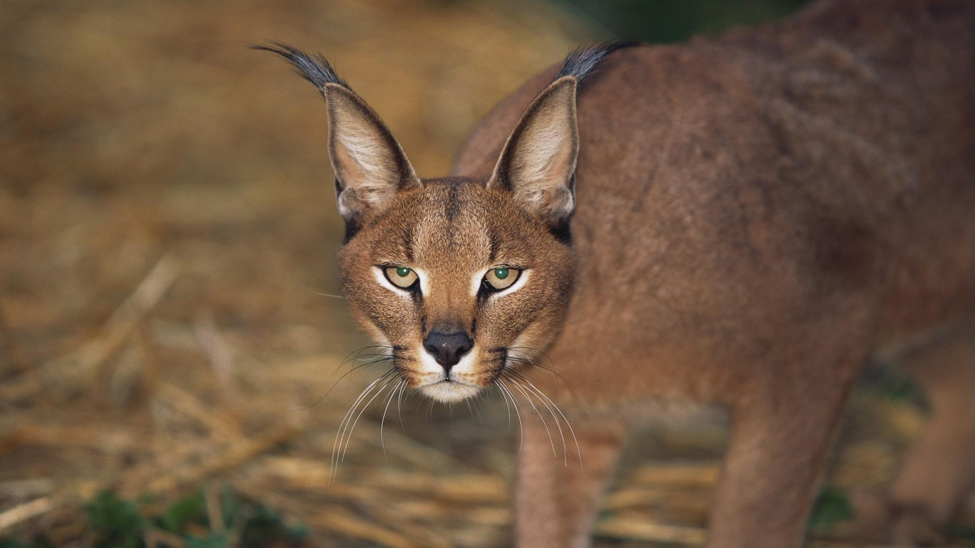 Puma, Tierwelt, Gesicht HD Hintergrundbilder   Tiere