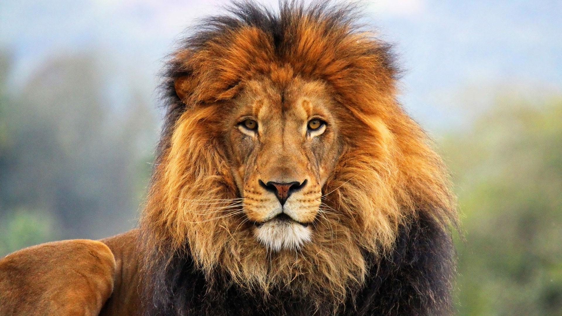 wallpaper : face, eyes, lion, fur, mane 1920x1080 - - 1024123 - hd