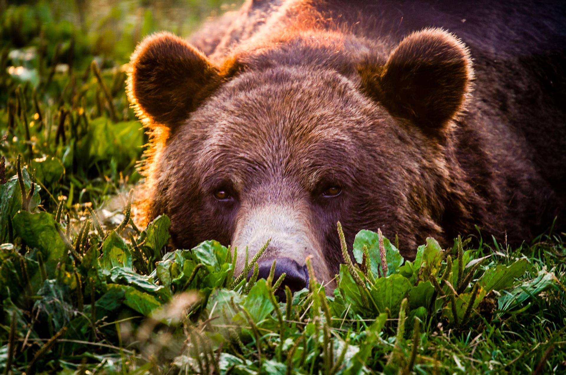 Sfondi : Viso, Erba, Natura, Barba, Orso Grizzly, Orso