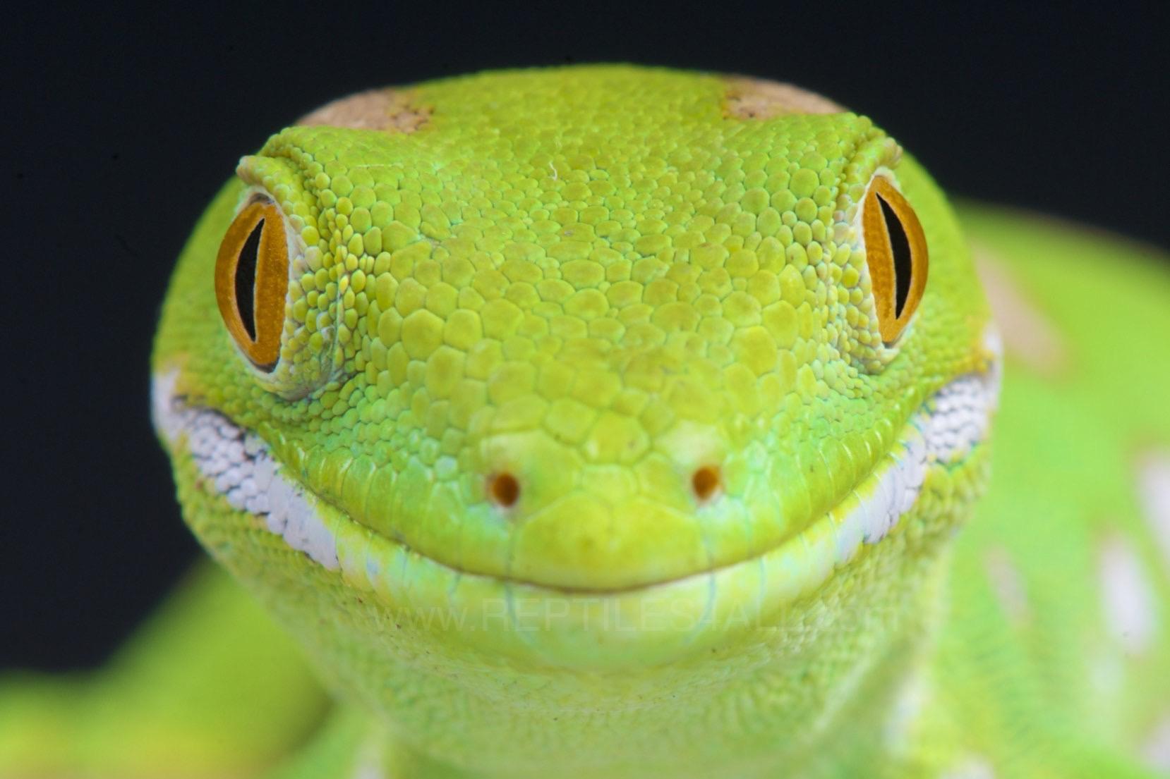 Fond D écran Visage Faune Smiley Content Brillant Gecko