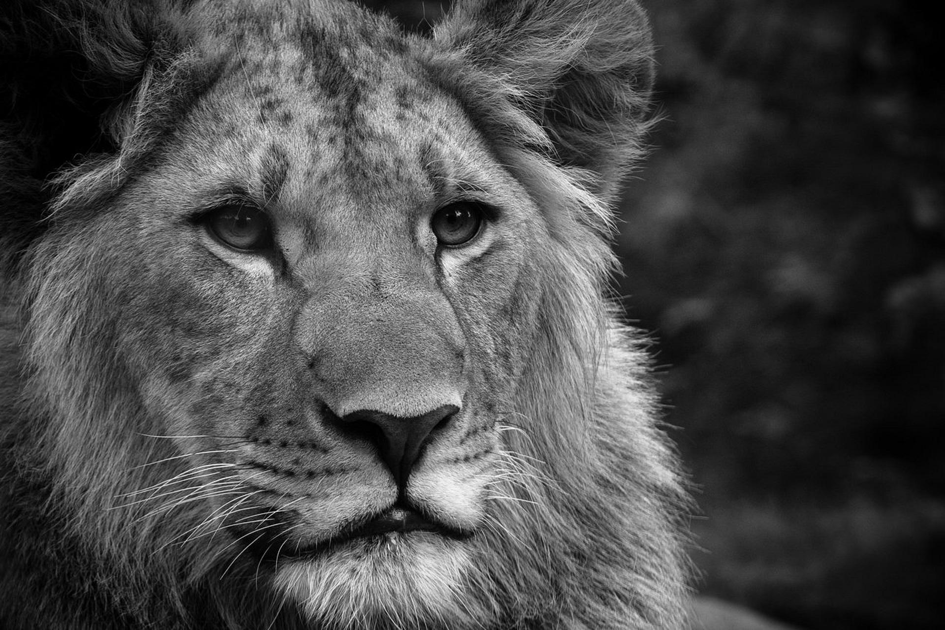 Hintergrundbilder Gesicht Einfarbig Löwe Tierwelt Nase