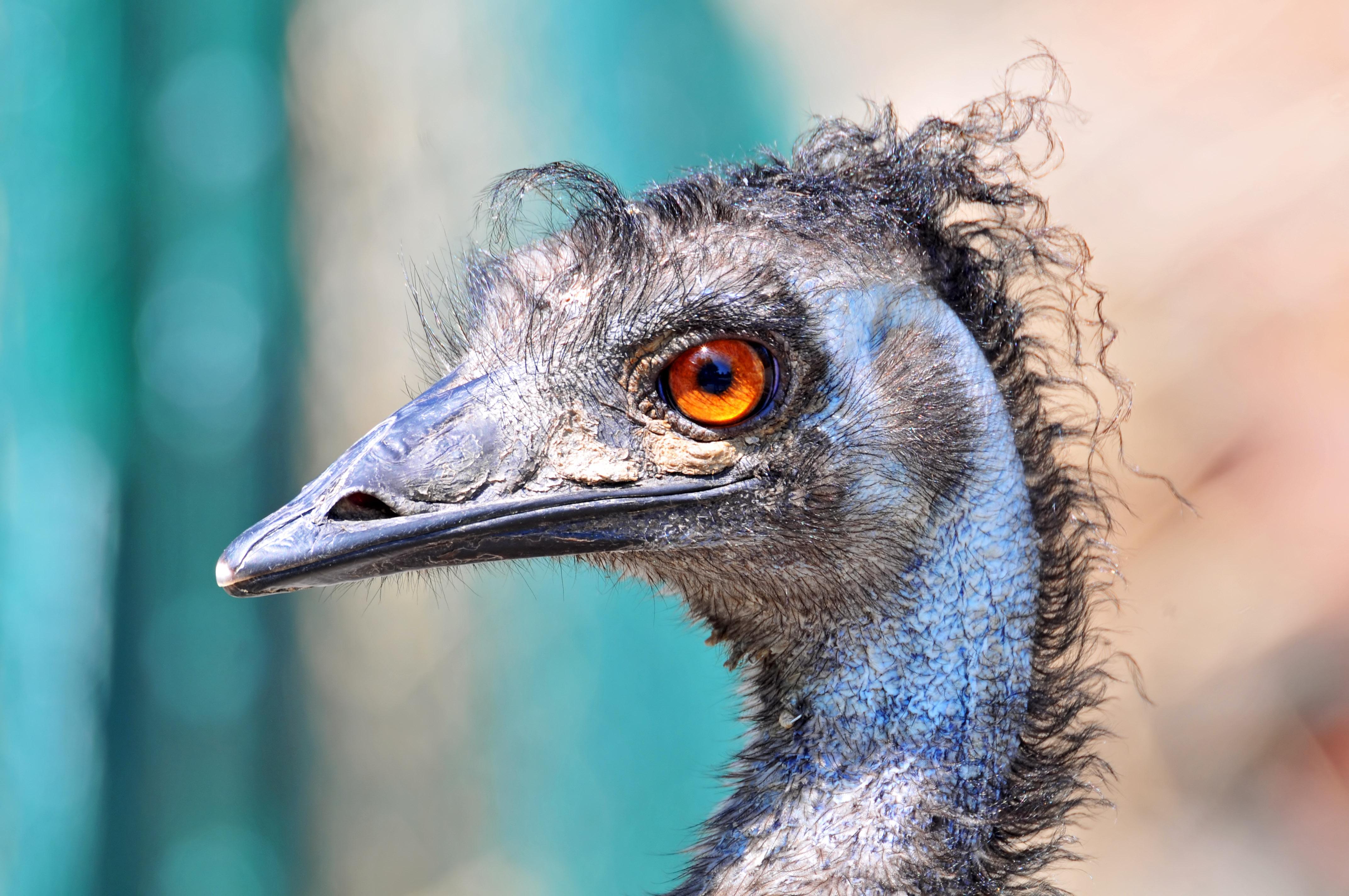 860+ Gambar Hewan Burung Emu Gratis Terbaru