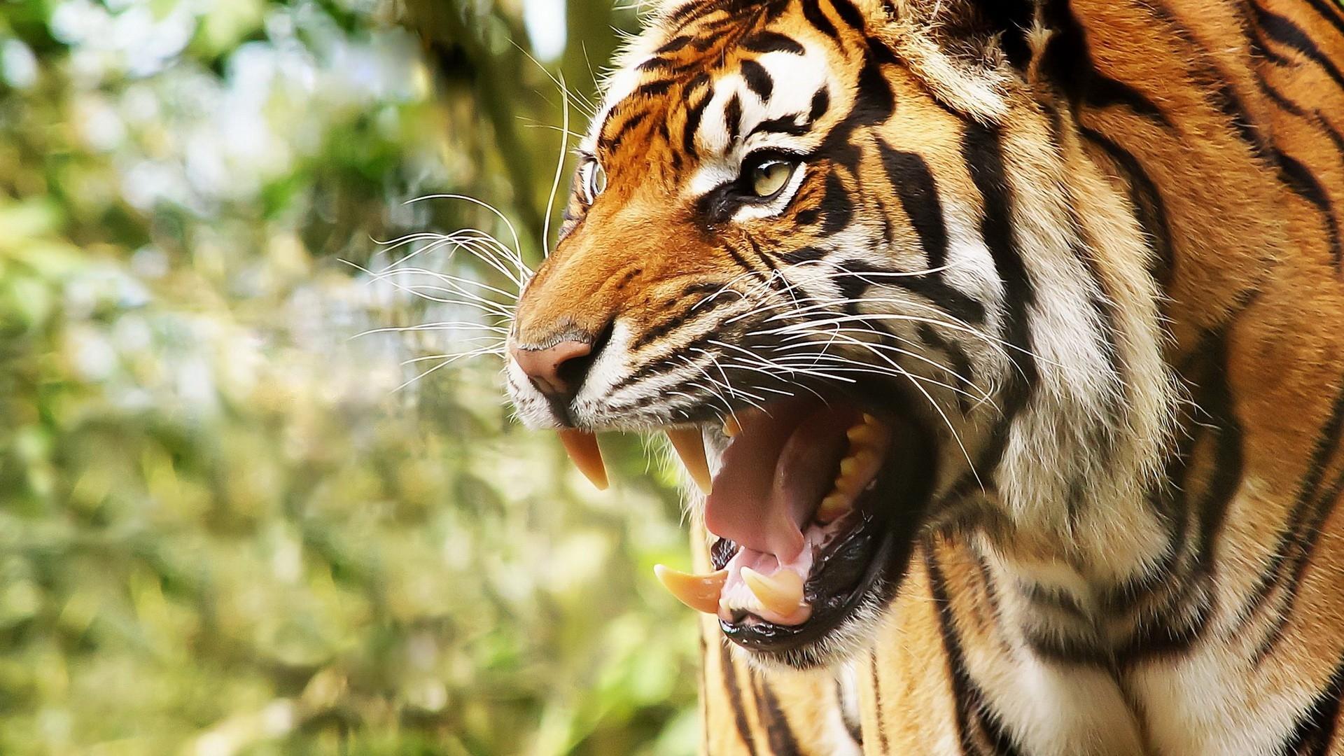 Wallpaper Face Tiger Anger Wildlife Teeth Big Cats Zoo