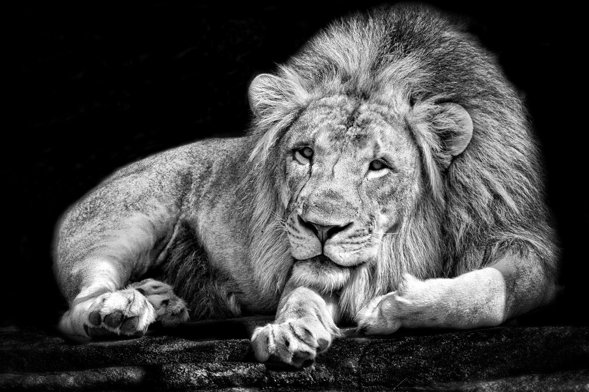 Face White Black Animals Monochrome Photography Lion Wildlife Fur Big Cats Whiskers Head Eye Fauna Mammal