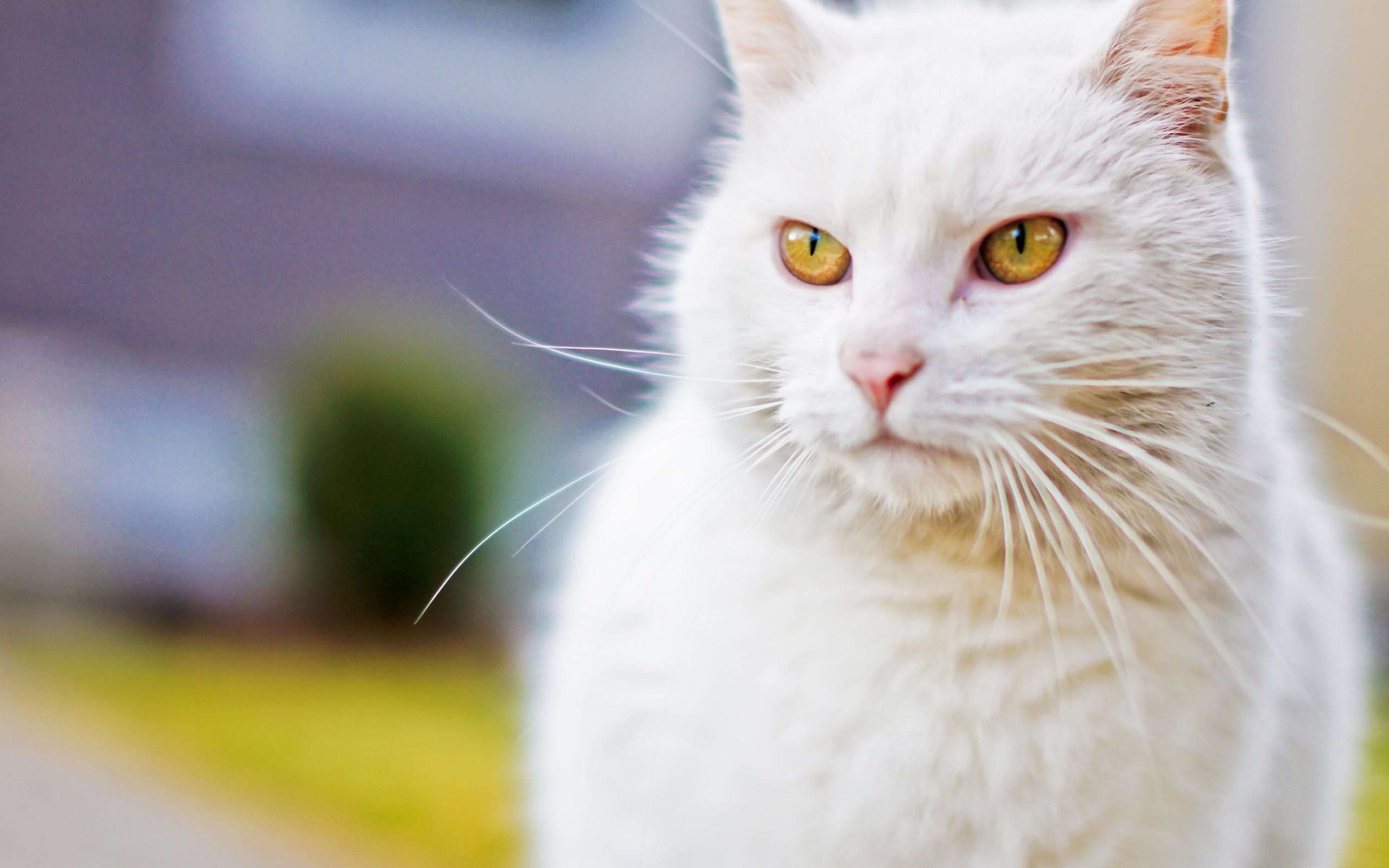 картинки белых котов с желтыми глазами парня время