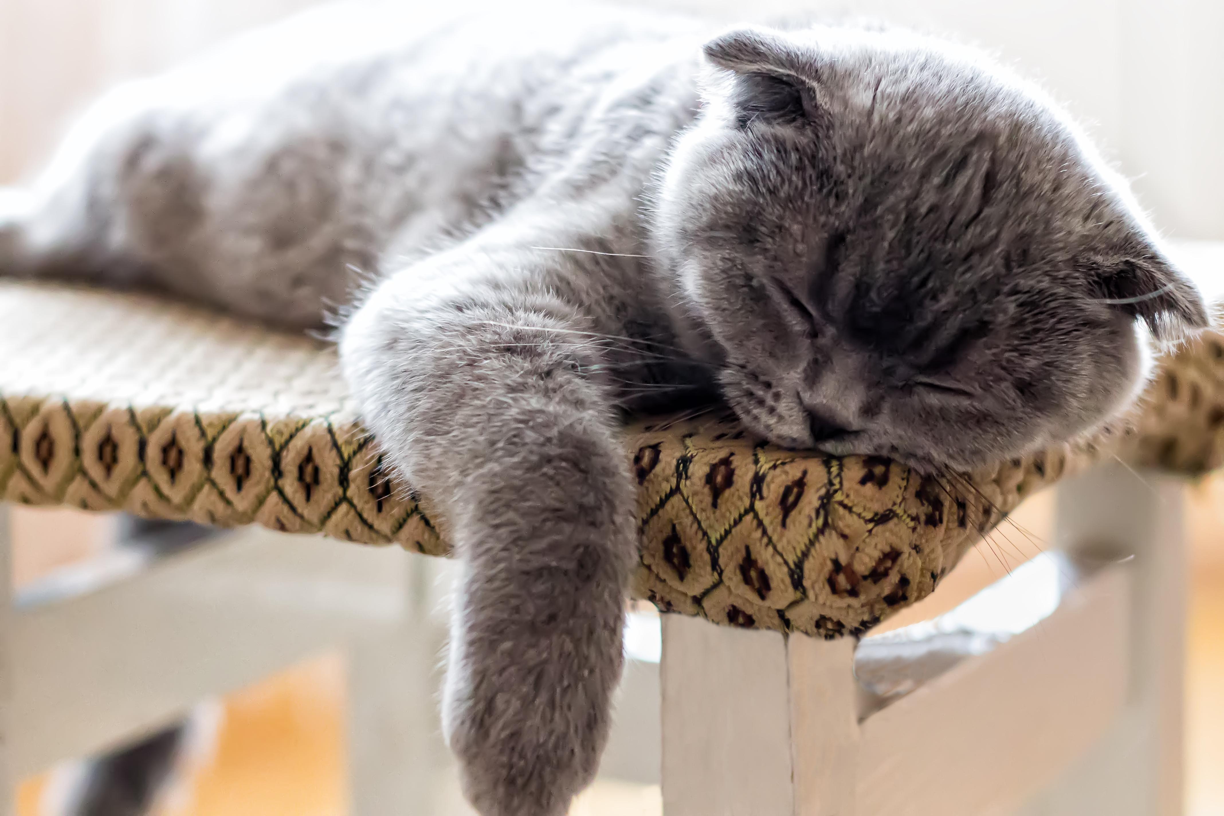 Hình nền : đối mặt, trắng, con mèo, Chân dung, ngồi, Gần, Màu xám, Mũi, Lông thú, Râu, người Anh, vui mừng, vật nuôi, Mèo con, Kitty, nói dối, Shorthair Anh ...