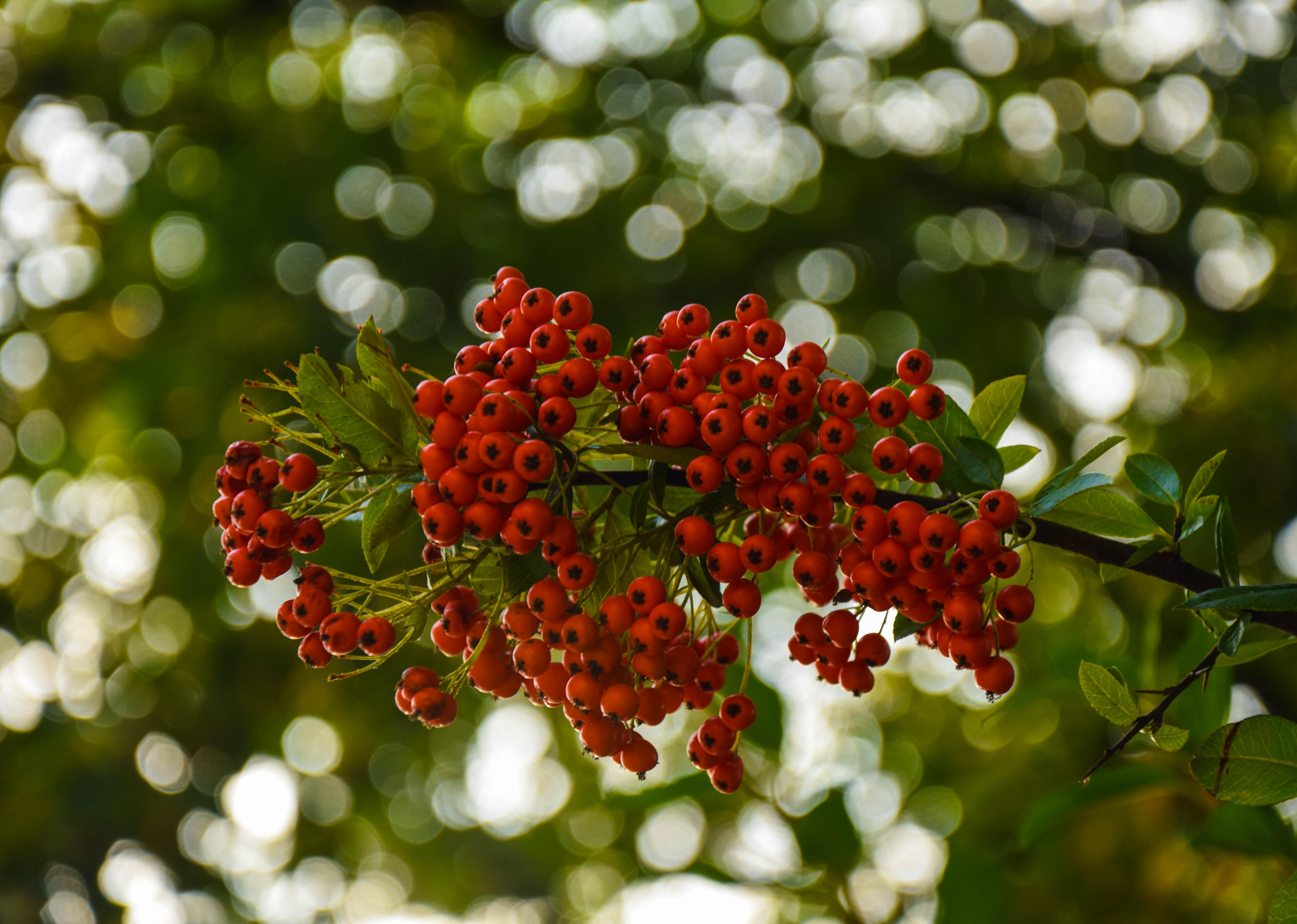 Fondos de pantalla : otoño, hojas, comida, jardín, naturaleza, rojo ...