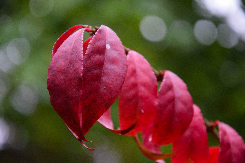 Fondos de pantalla : otoño, hojas, jardín, naturaleza, rojo, rama ...
