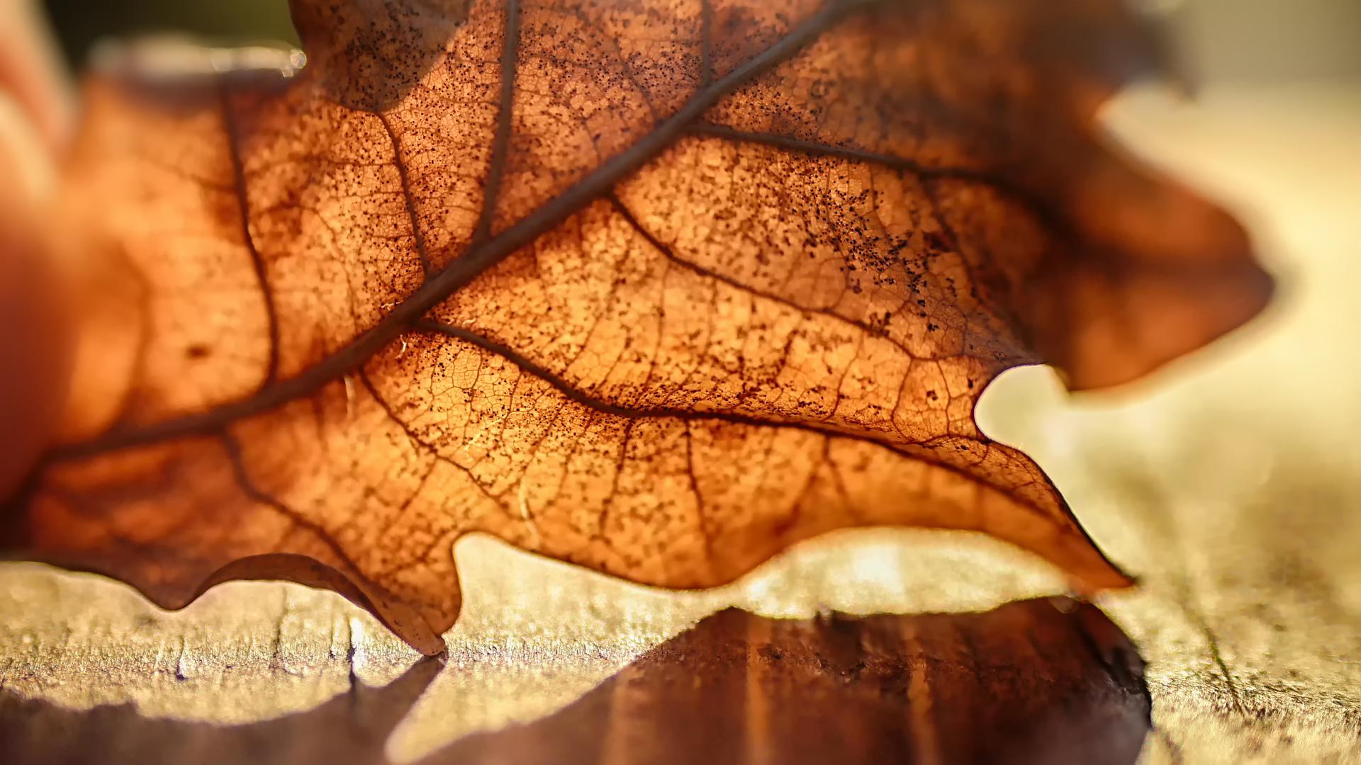 デスクトップ壁紙 秋 葉 マクロ 自然 日光 暖かい色 閉じる