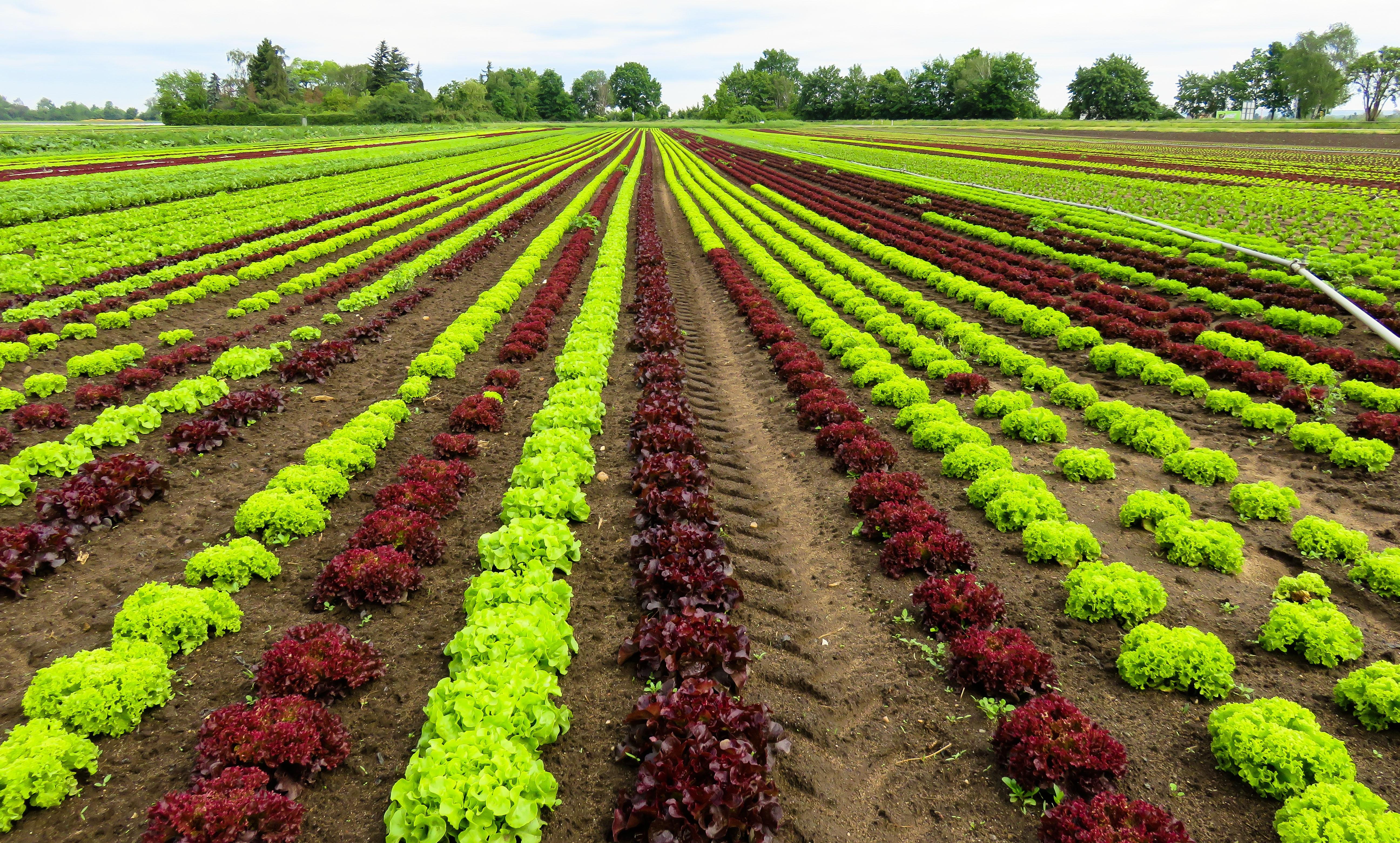 Wallpaper Bidang Sayuran Tanah Pertanian Selada Bunga