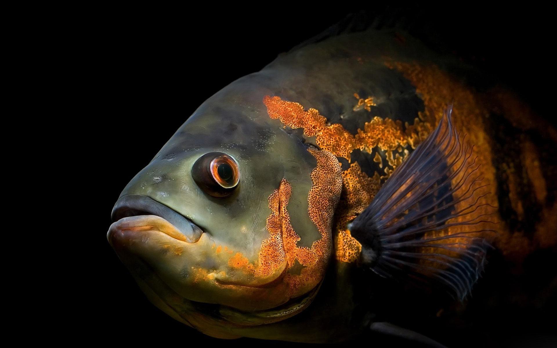 デスクトップ壁紙 魚 オレンジ色 動物の目 1920x1200