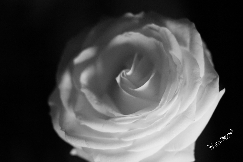 Unduh 47 Koleksi Wallpaper Bunga Mawar Hitam Putih HD Terbaru
