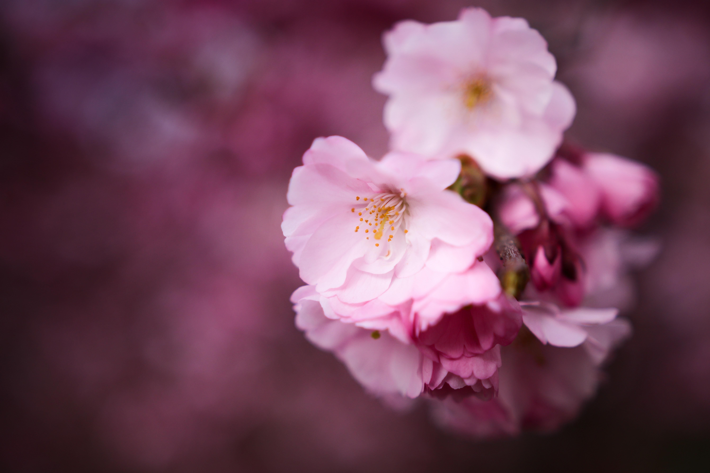 デスクトップ壁紙 ピンク 桜の花 春 閉じる 花弁 フローラ
