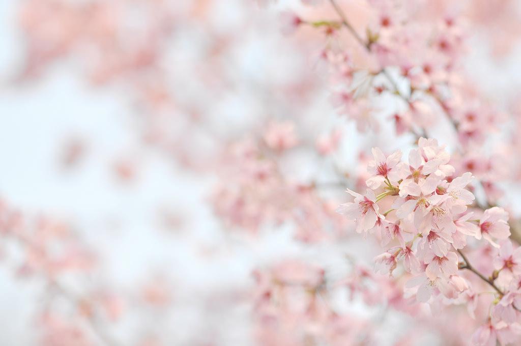 デスクトップ壁紙 ピンク 桜の花 春 花弁 ブランチ 閉じる