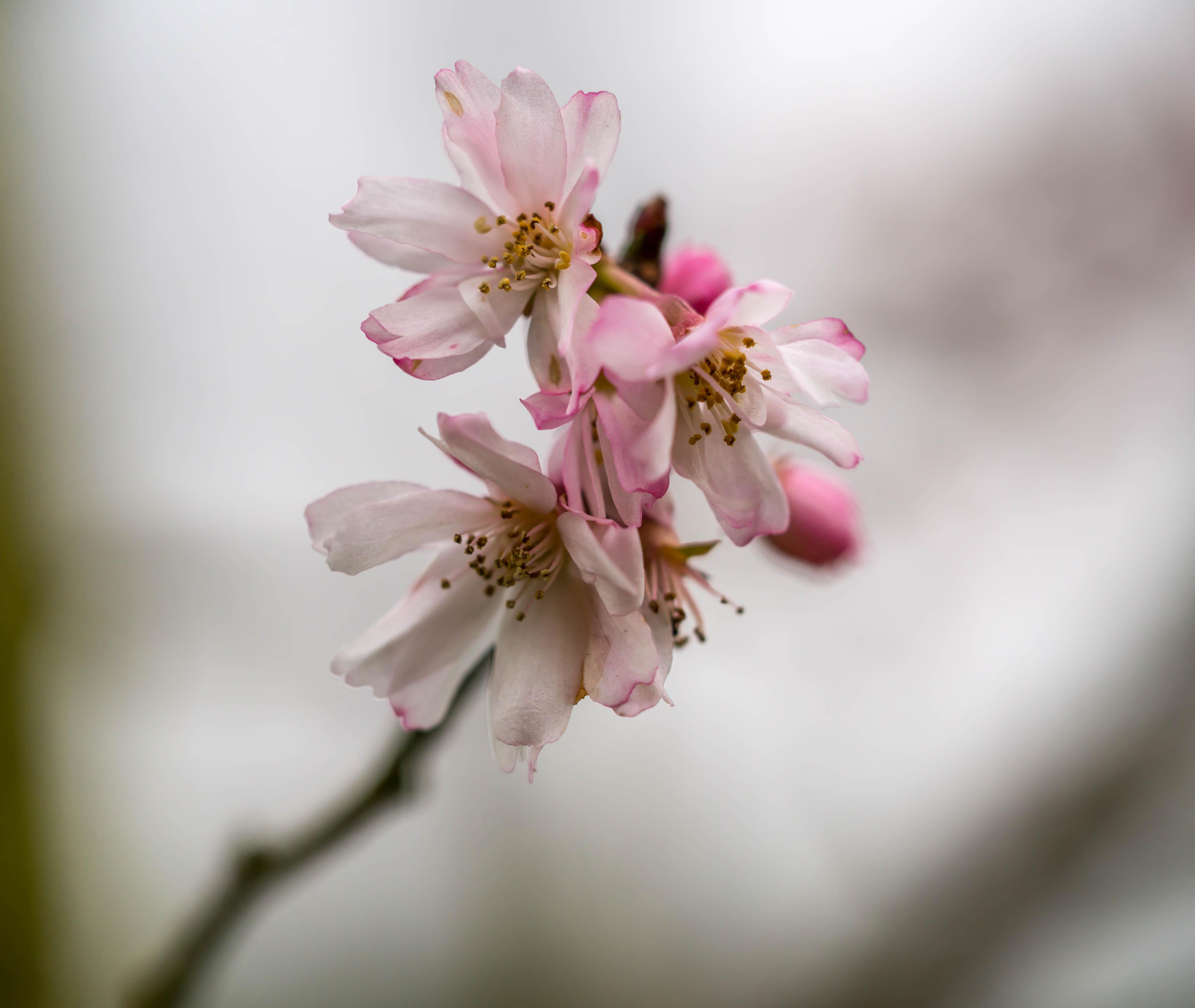 Sfondi fiorire rosa primavera fiore di ciliegio for Pianta di ciliegio