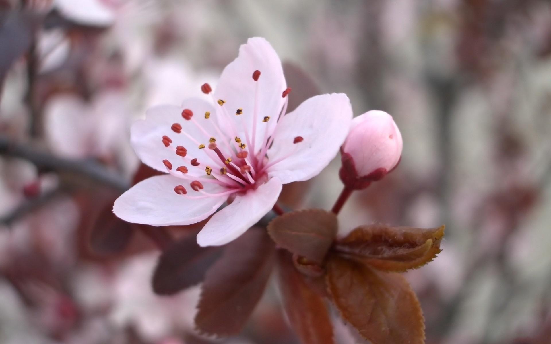армянские цветы вишни фото картинки имя