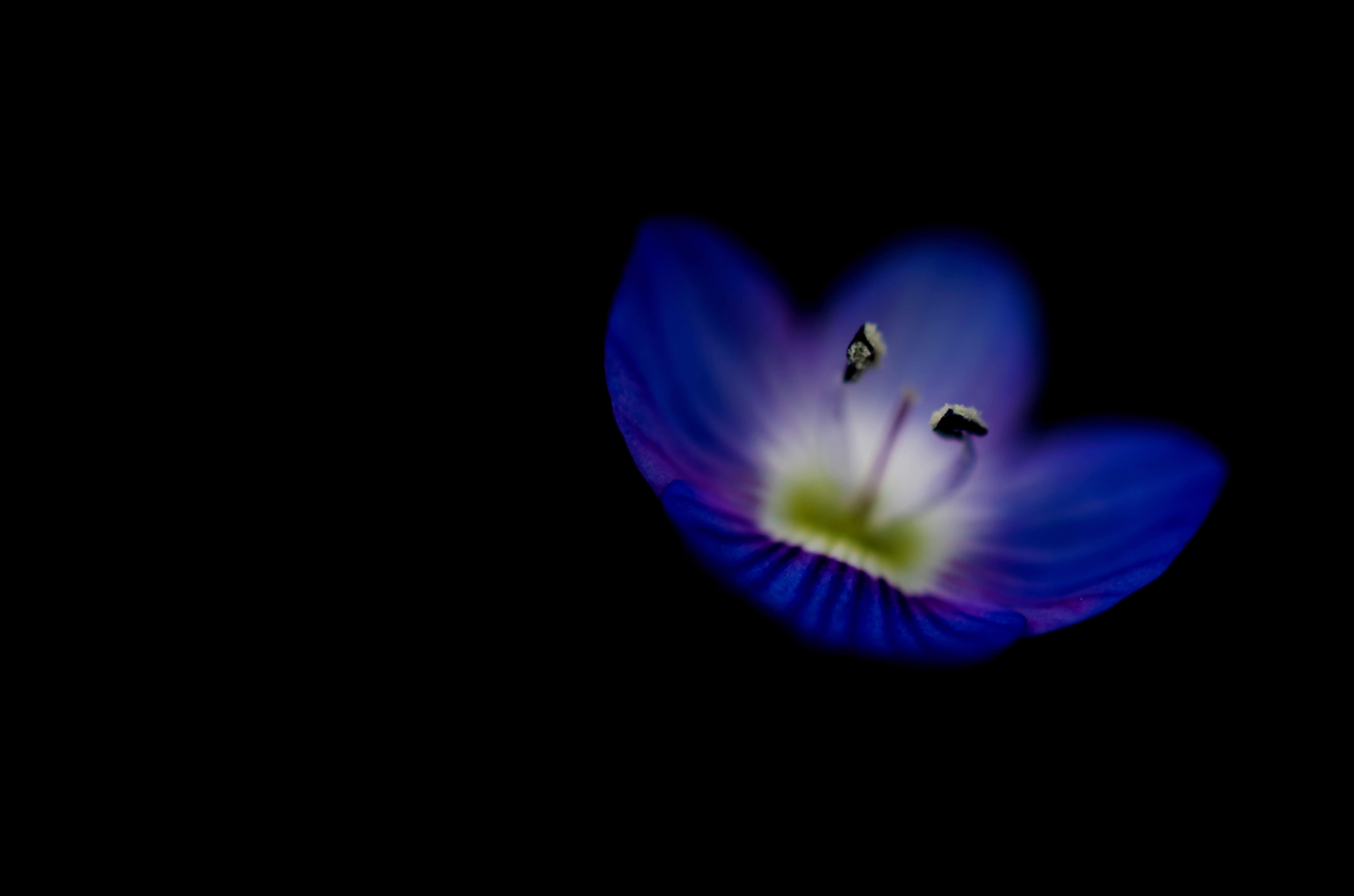Wallpaper Flower Macro Blackbackground Purple Rip