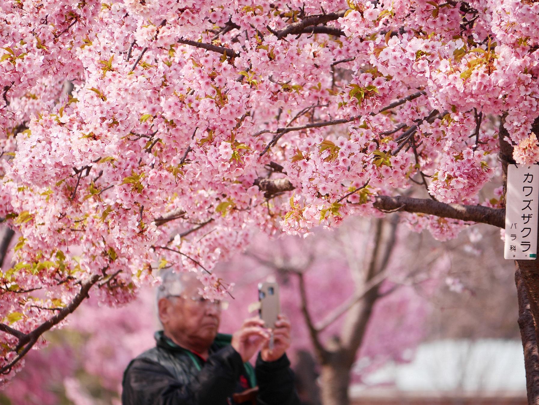 Wallpaper Berwarna Merah Muda Mekar Menanam Bunga Sakura Musim