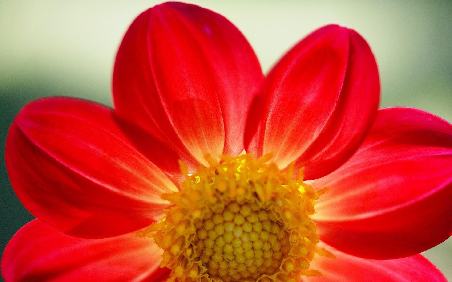 картинка красный цветок большой растворяешься ней