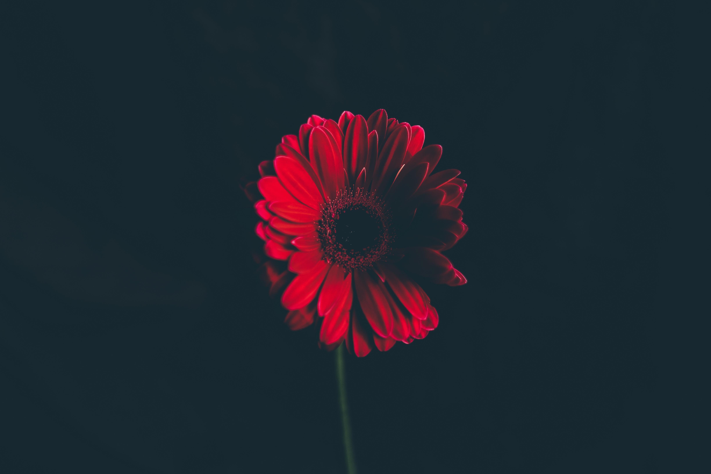 Sfondi Fiore Rosso Stelo Germoglio Sfondo Nero 4896x3264