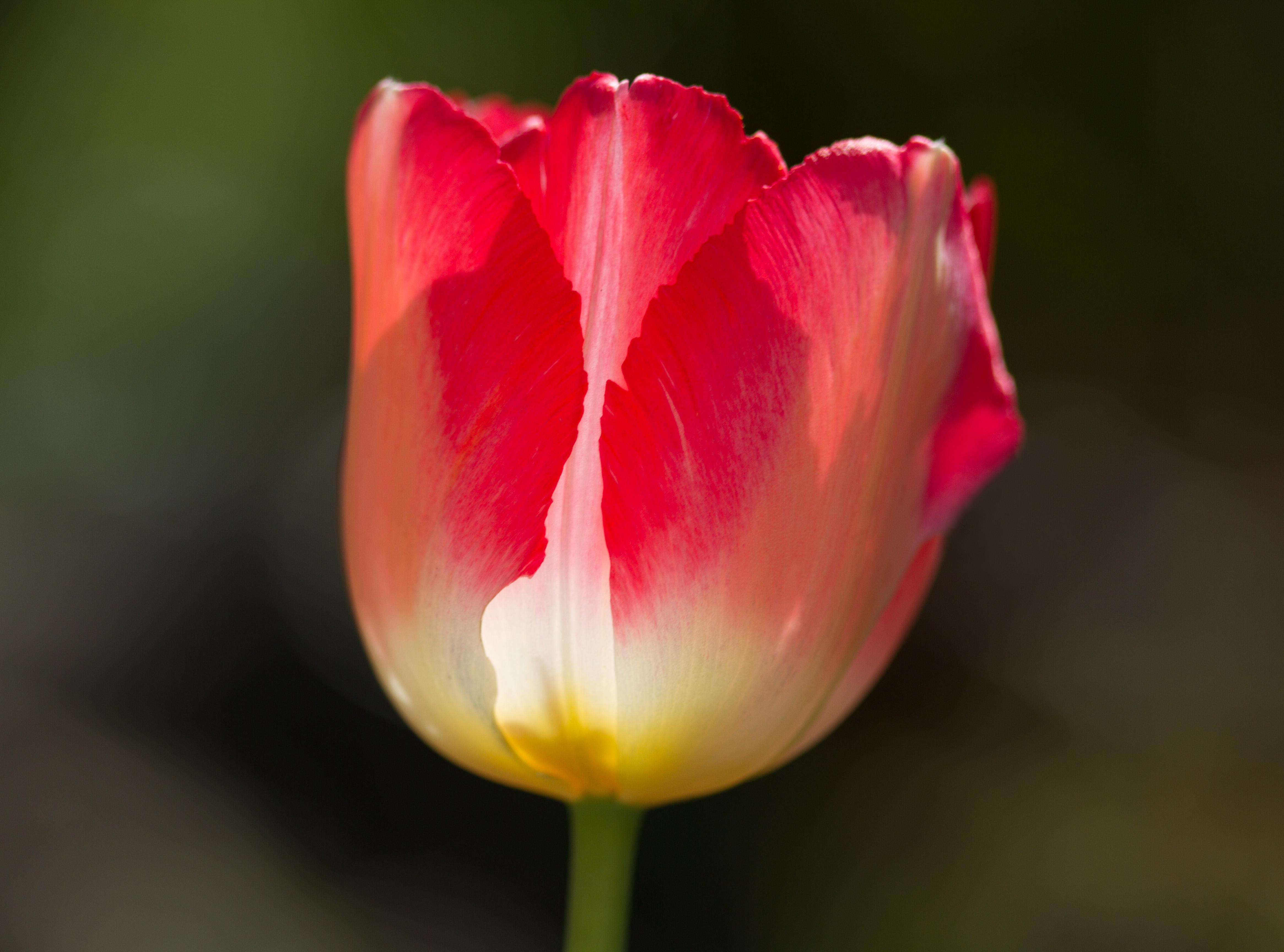 все-таки цветок тюльпана крупным планом фото орган сформирован