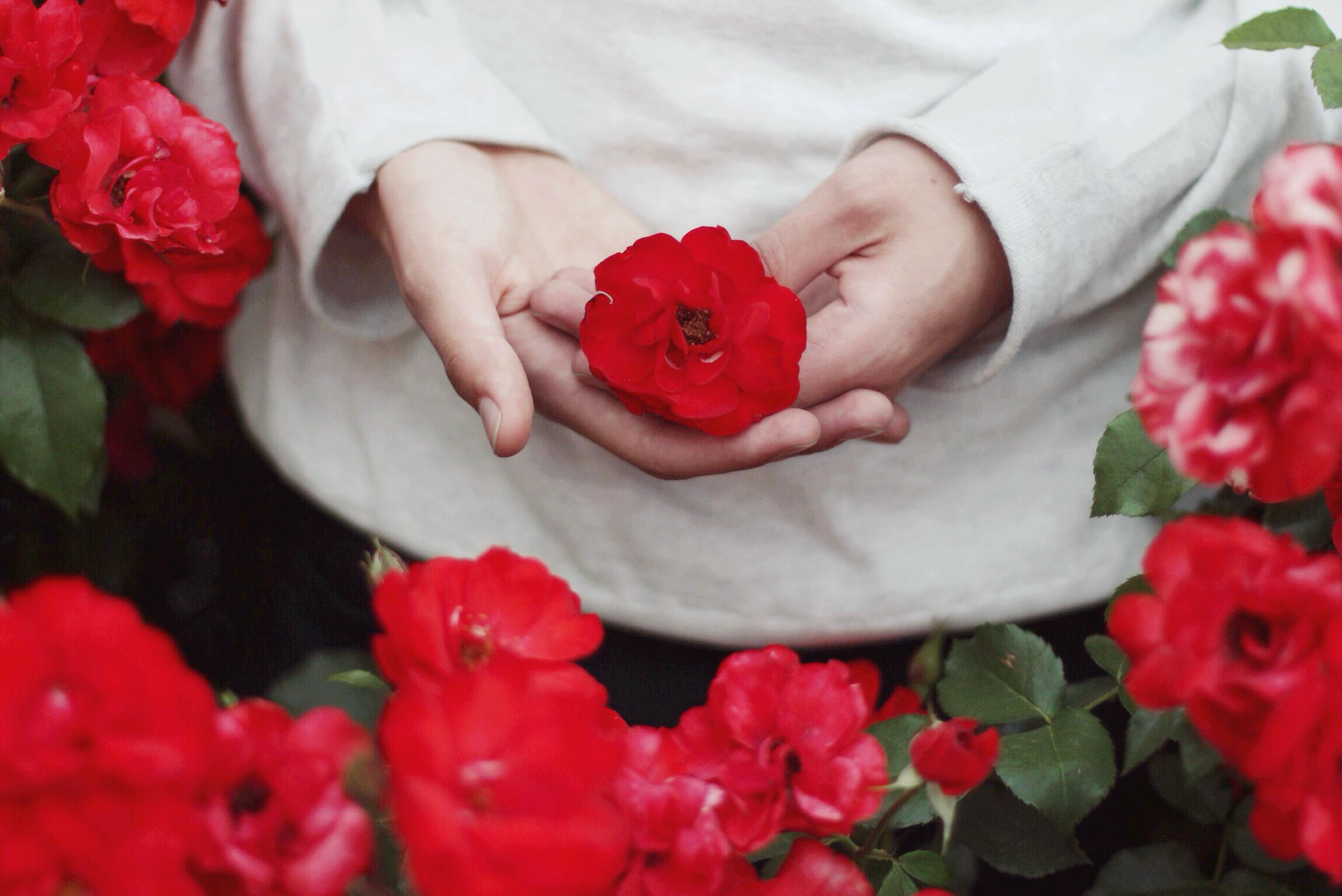 Sfondi fiore rosso rose da giardino famiglia di rosa for Rose da giardino
