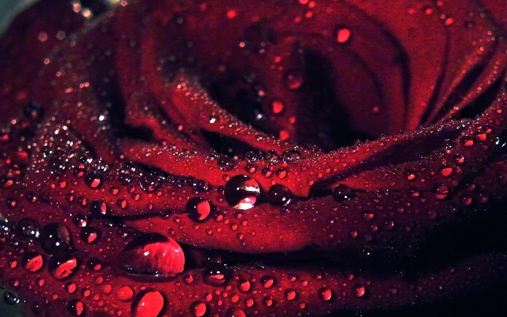 Fond D Ecran Fleur Rose Rouge Macro Petales Des Gouttes De