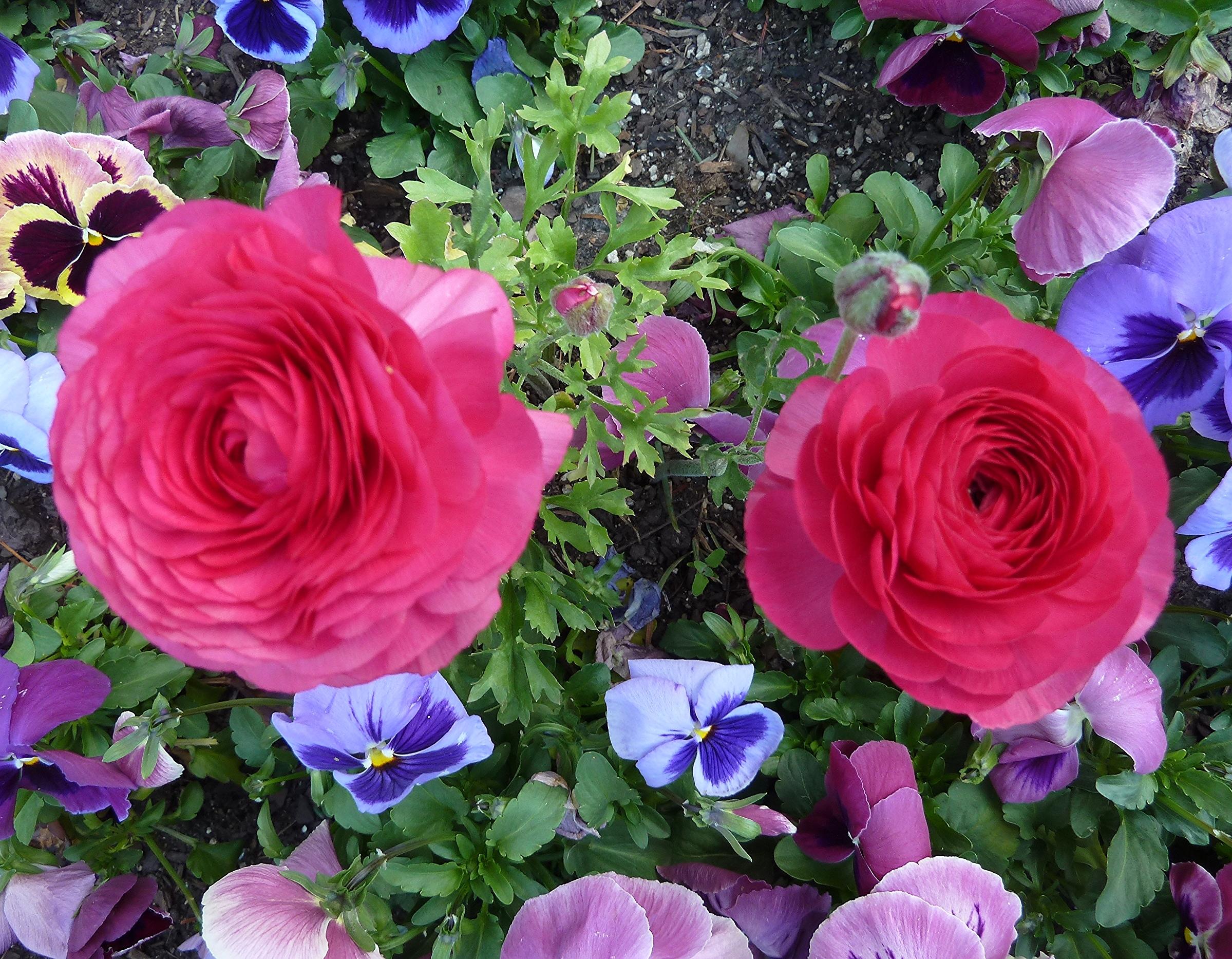 Fond D Ecran Fleur Rose Famille Rose Violet Roses De Jardin