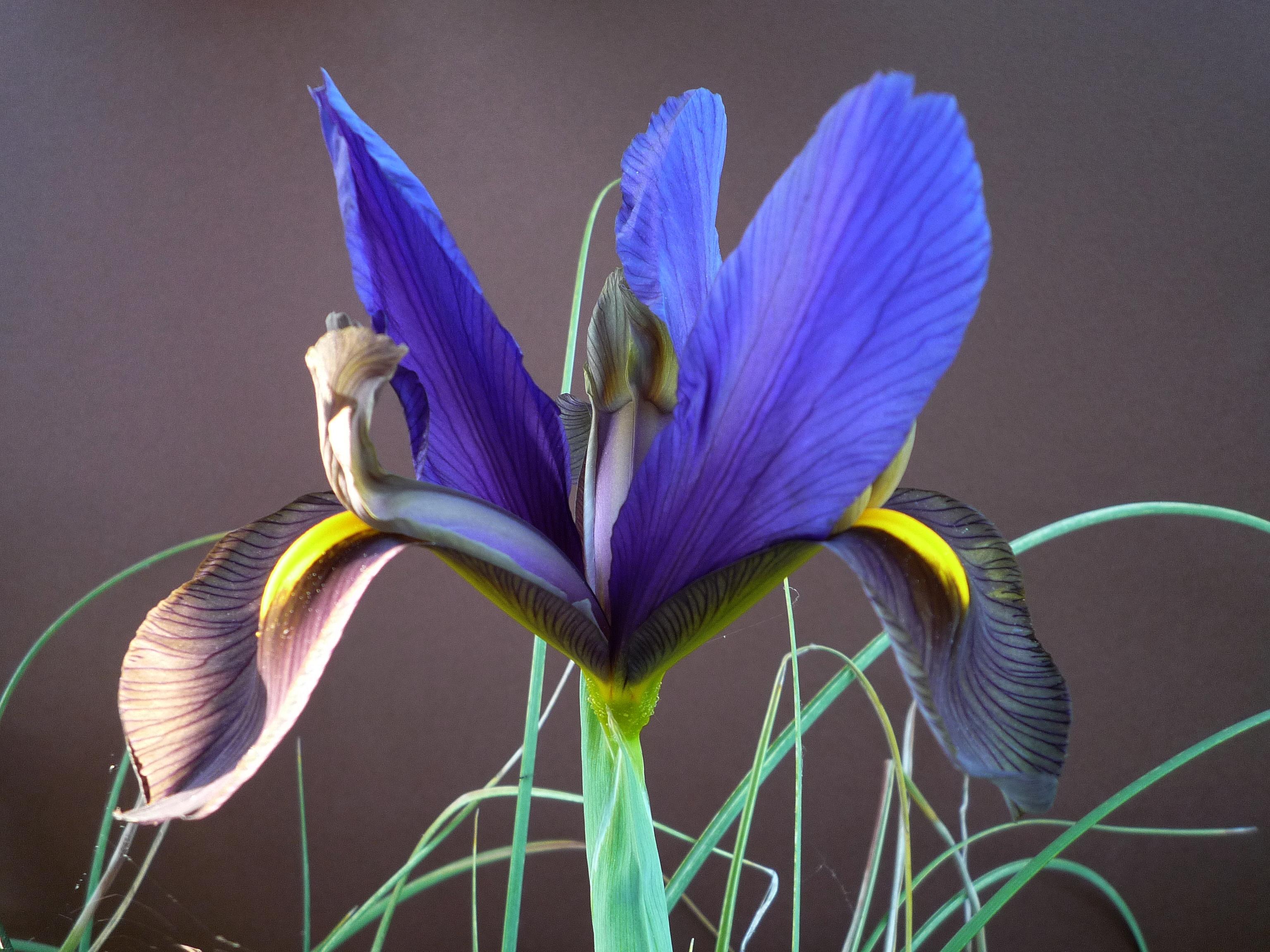 Hintergrundbilder : Blumen, Iris, Blume, Makro, verlassen, Natur ...