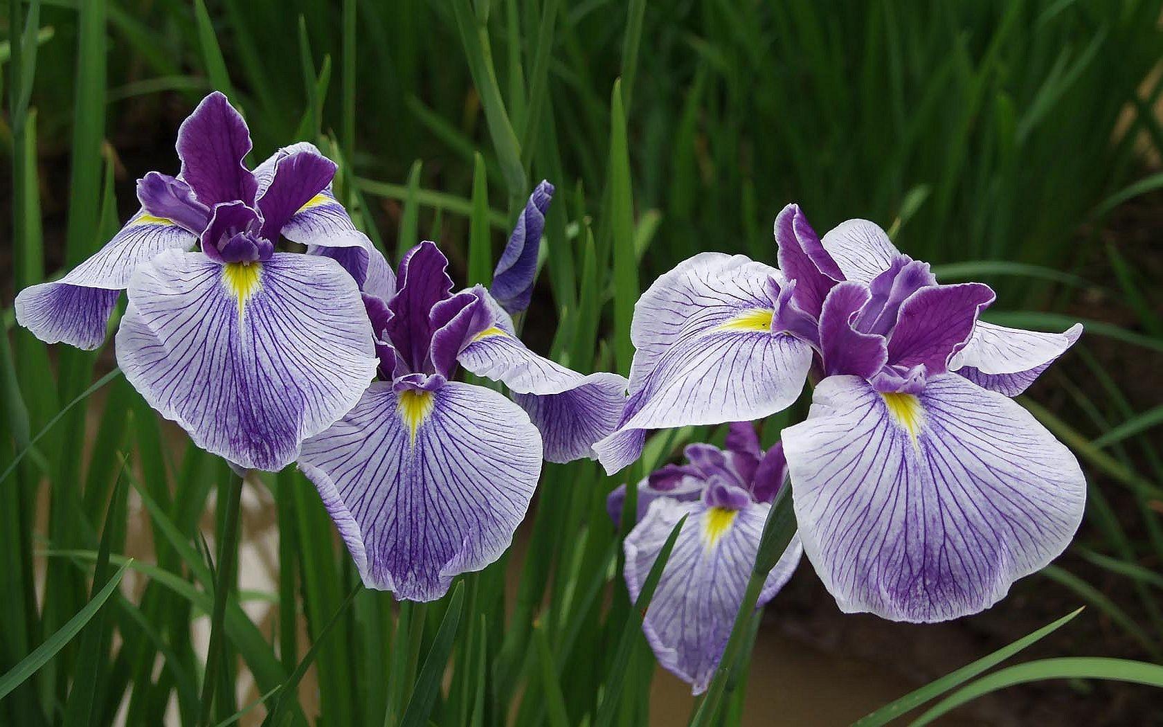 Wallpaper flowers iris flower eye flora botany land plant flowers iris flower plant eye flora botany land plant flowering plant close up iris versicolor iris izmirmasajfo