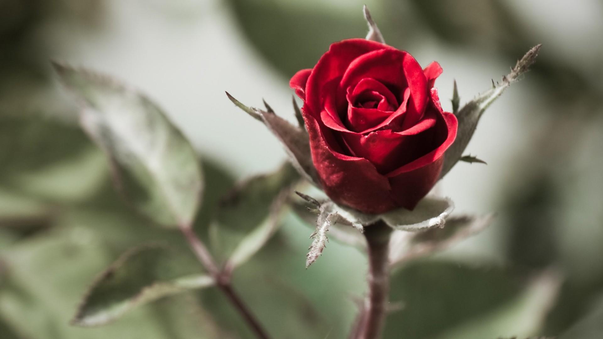 Цитаты о шипах и розах