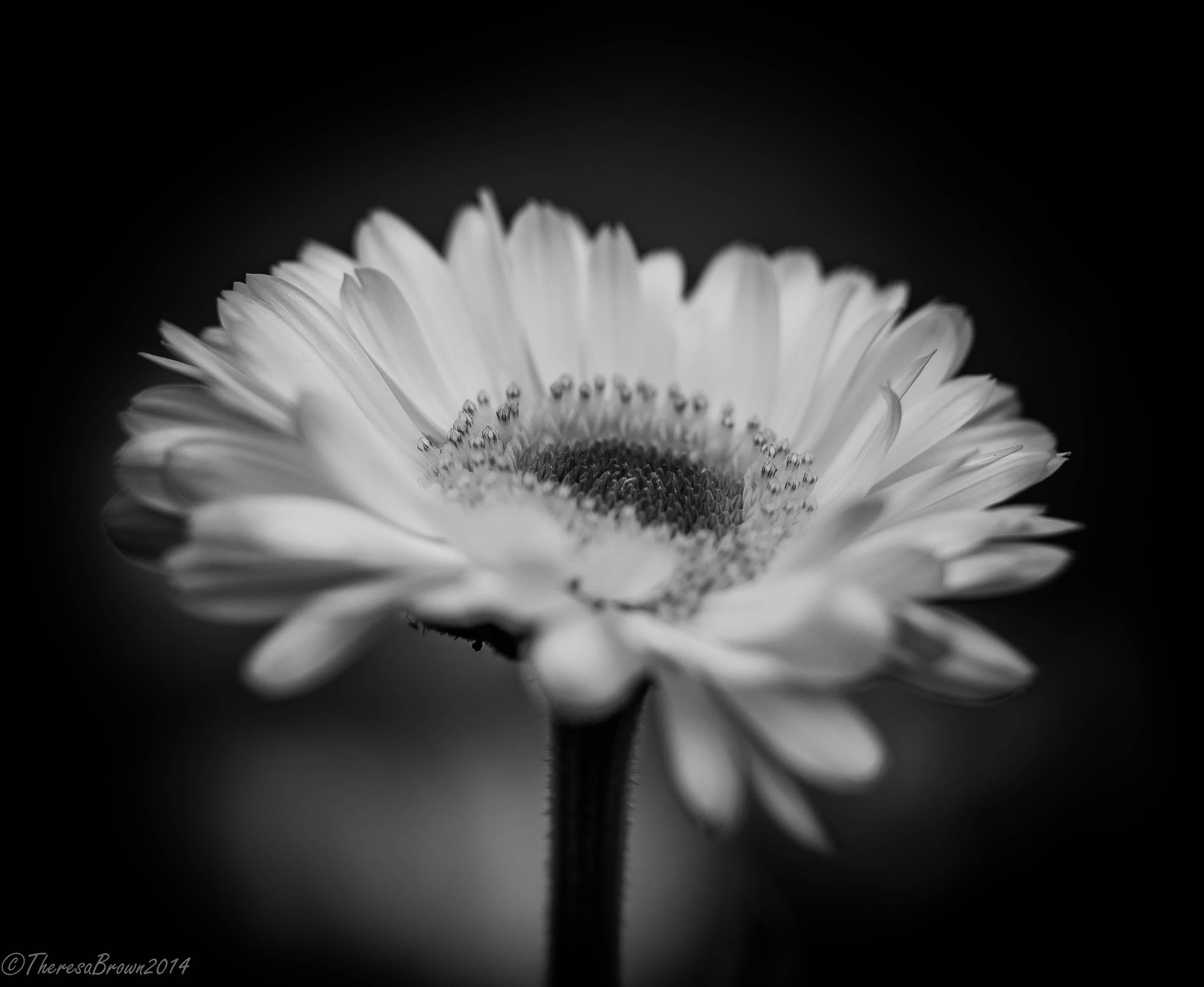 Fondos De Pantalla Flores Blanco Y Negro Blanco Flor