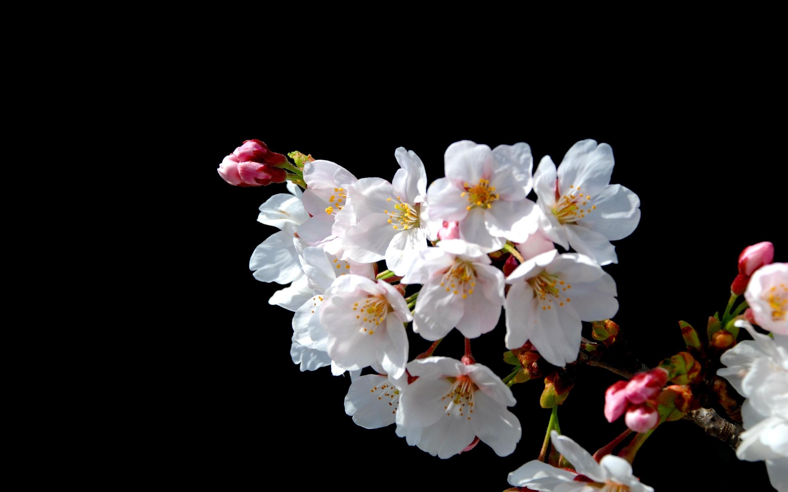 foto de Fond d'écran : branche, fleur de cerisier, printemps, Floraison ...