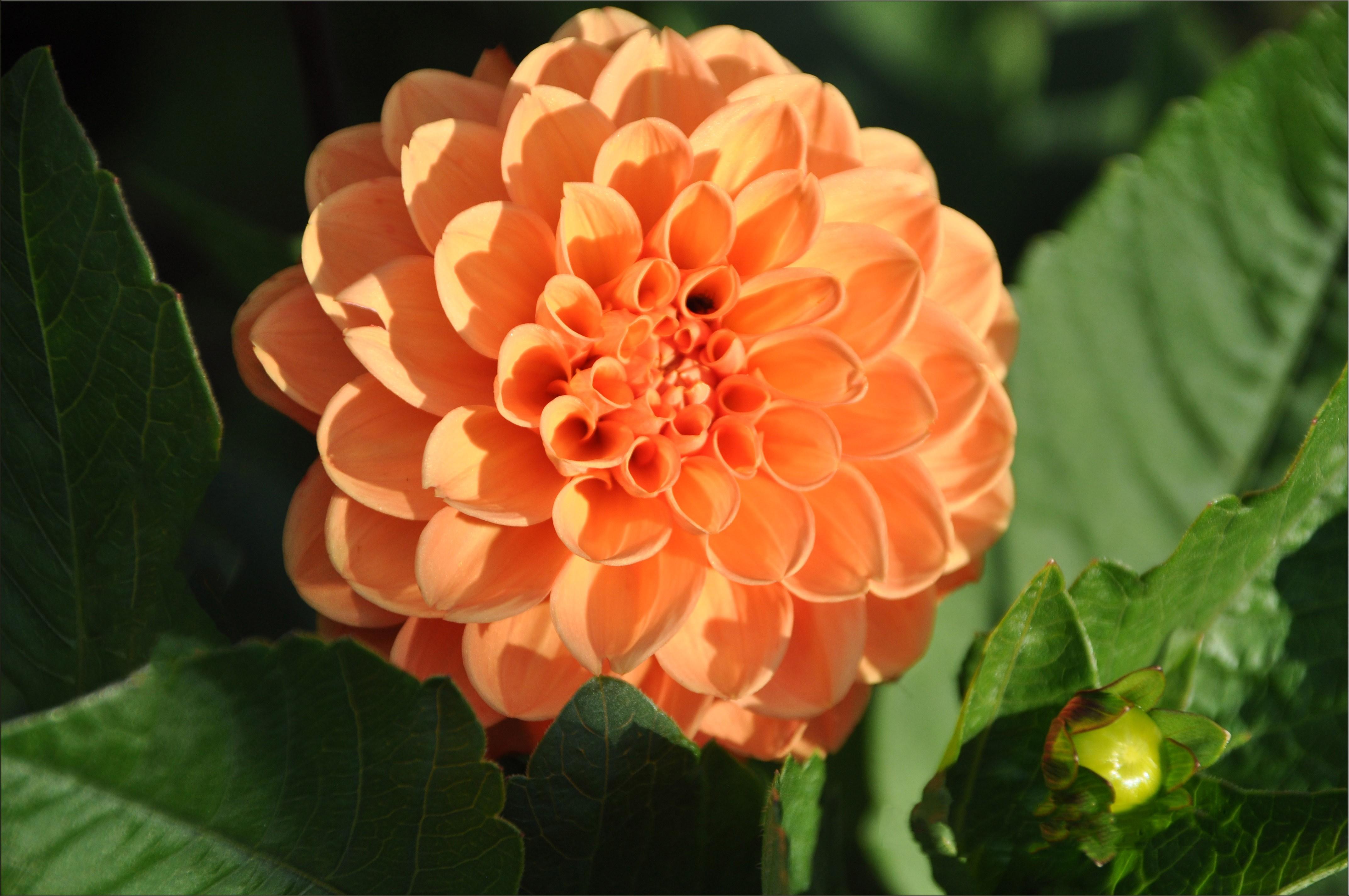 Sfondi dalie fiori d 39 arancio fiore dalia flora - Dalia pianta ...