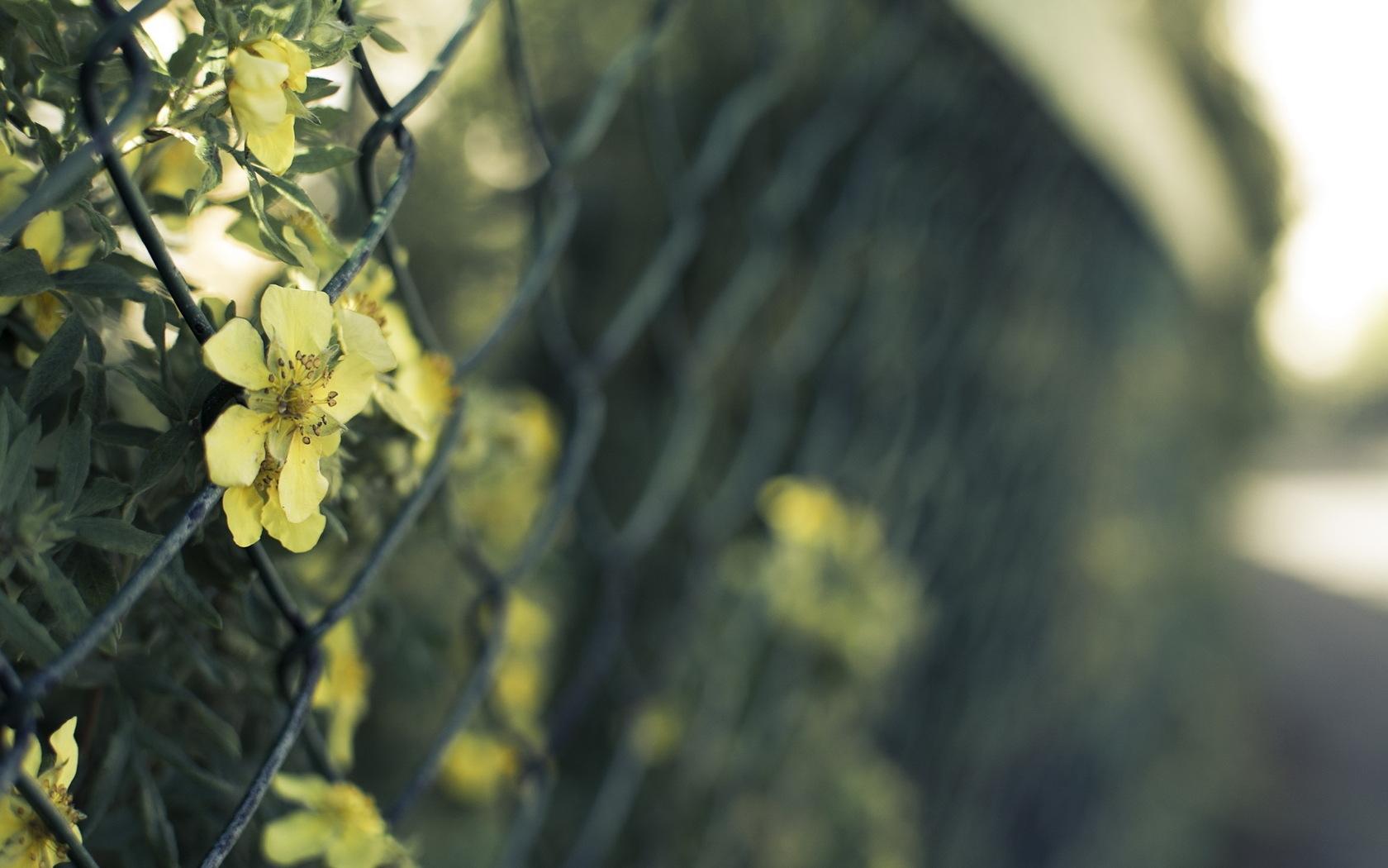 Hintergrundbilder Blumen Zaun Drahtgitter Licht 1680x1050