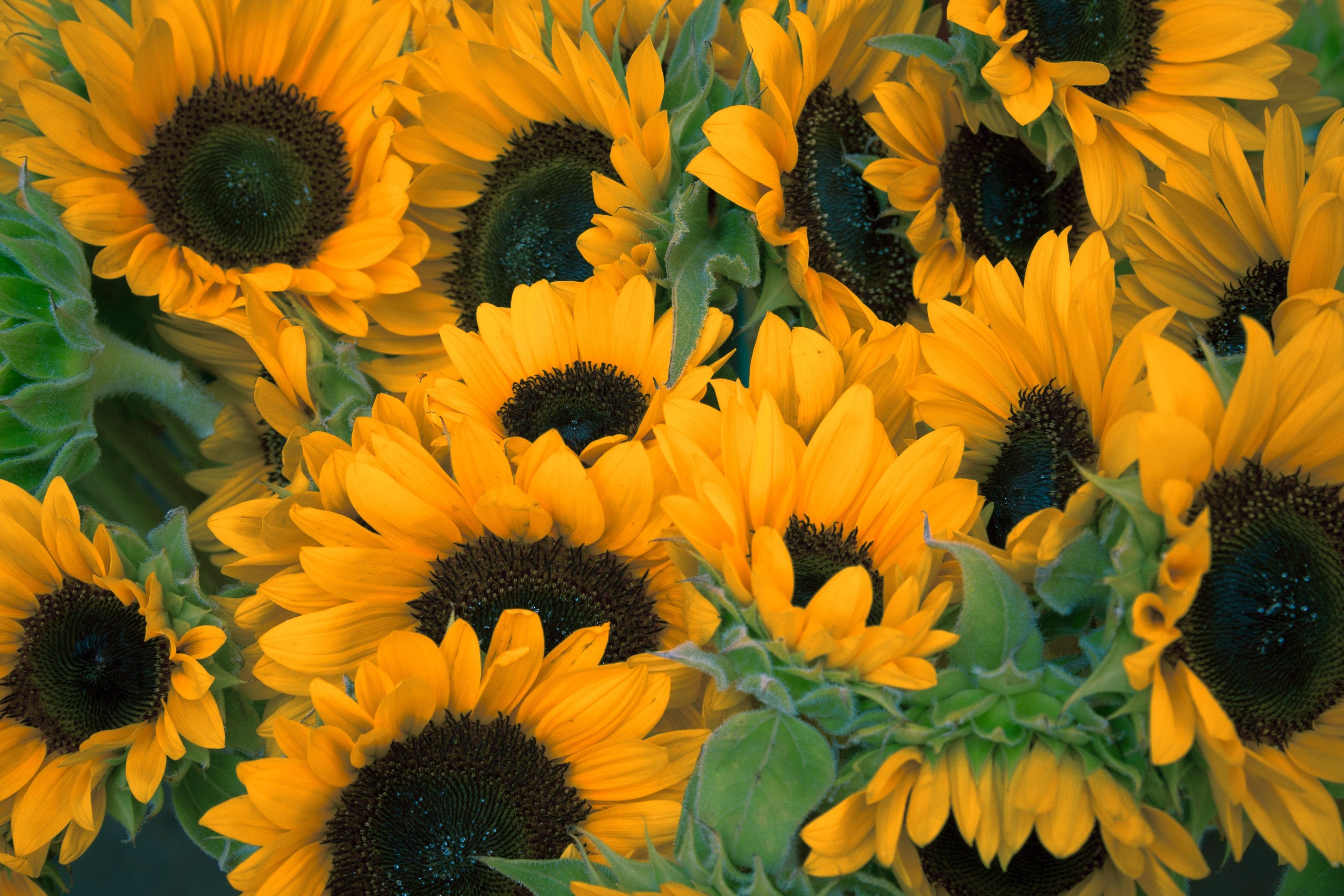 Sfondi Fiori Campo Giallo Girasoli Fiore Flora Impianto Di