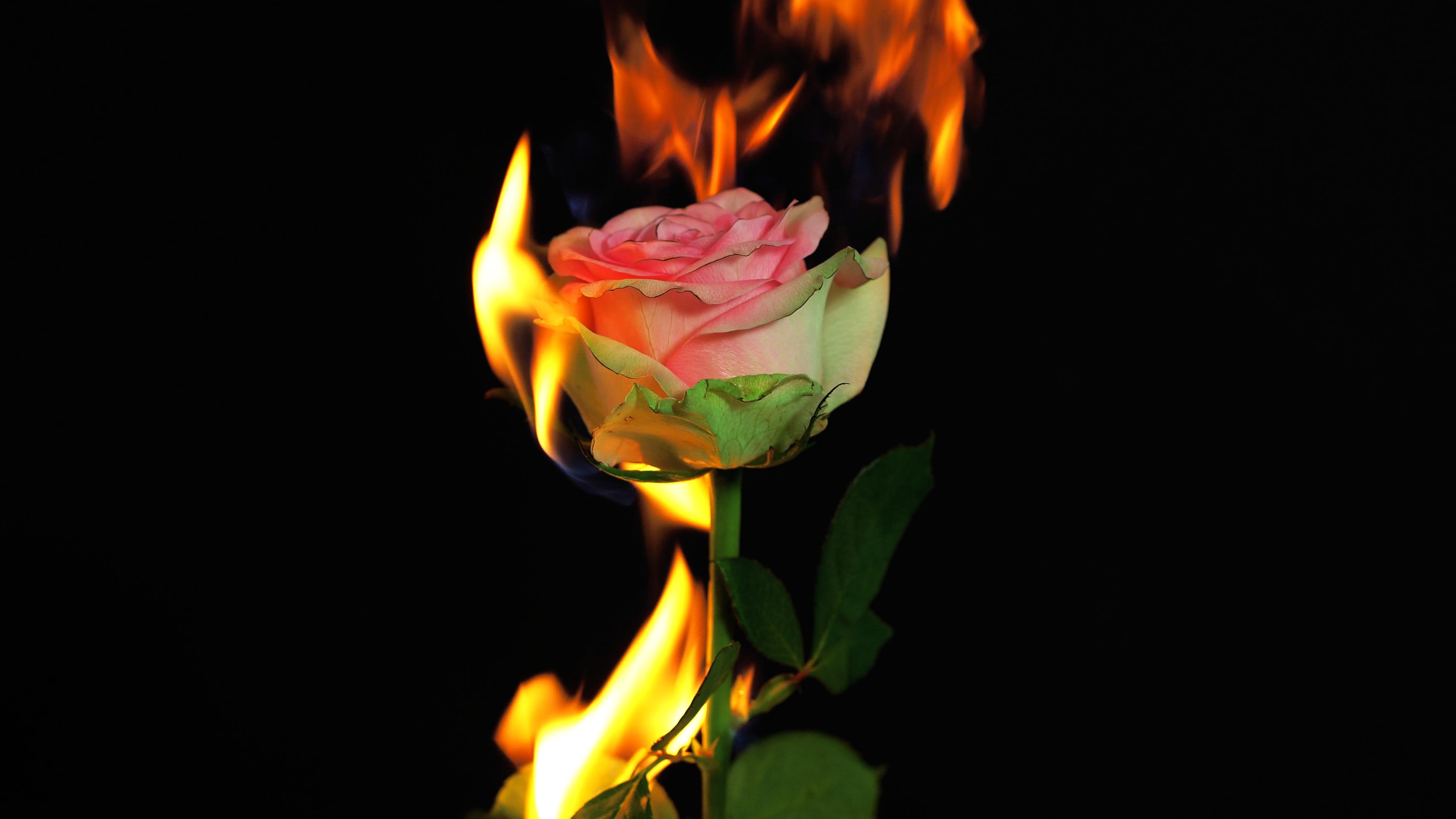 уже картинки розы и огонь человек