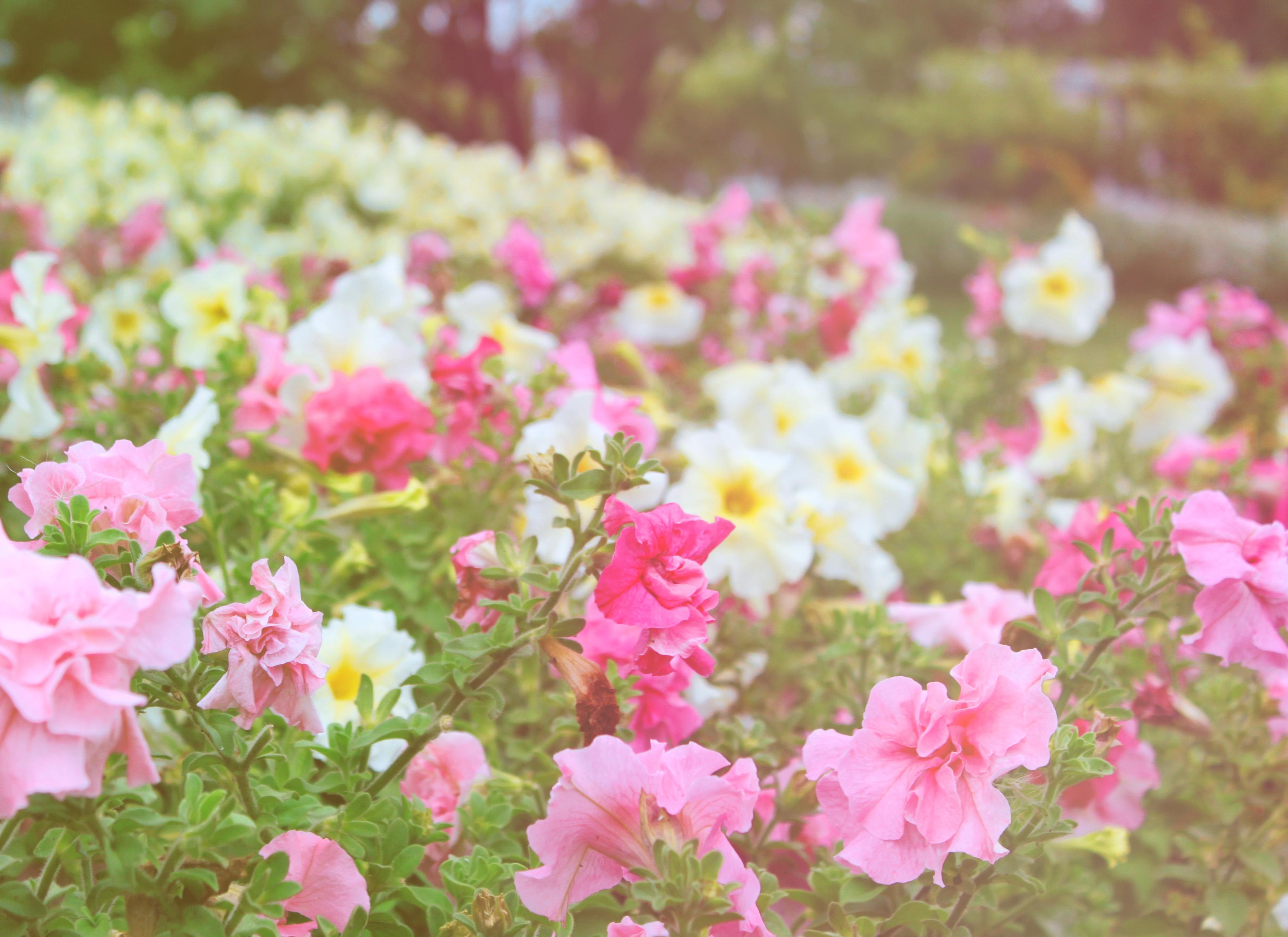 Fond d\u0027écran  jardin, la nature, champ, fleur, rose