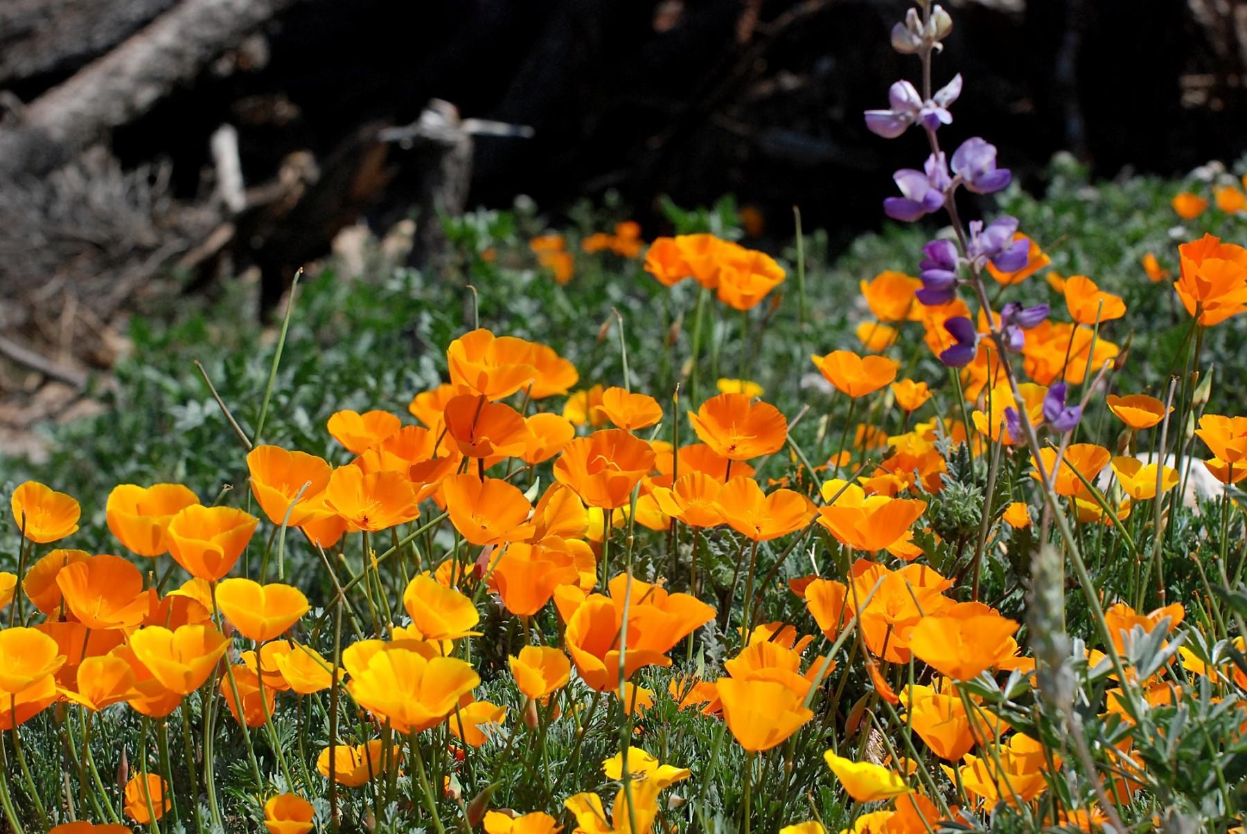 Fiori Gialli Giardino.Sfondi Giardino Natura Fiori Gialli Papaveri Glicine Fiore