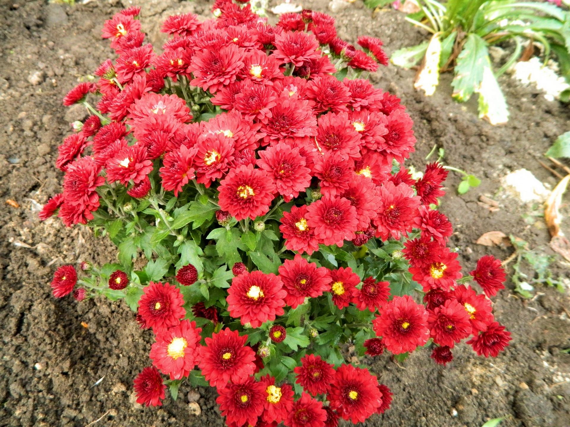 Papel de parede flores jardim vermelho flor plantar - Como cultivar crisantemos ...